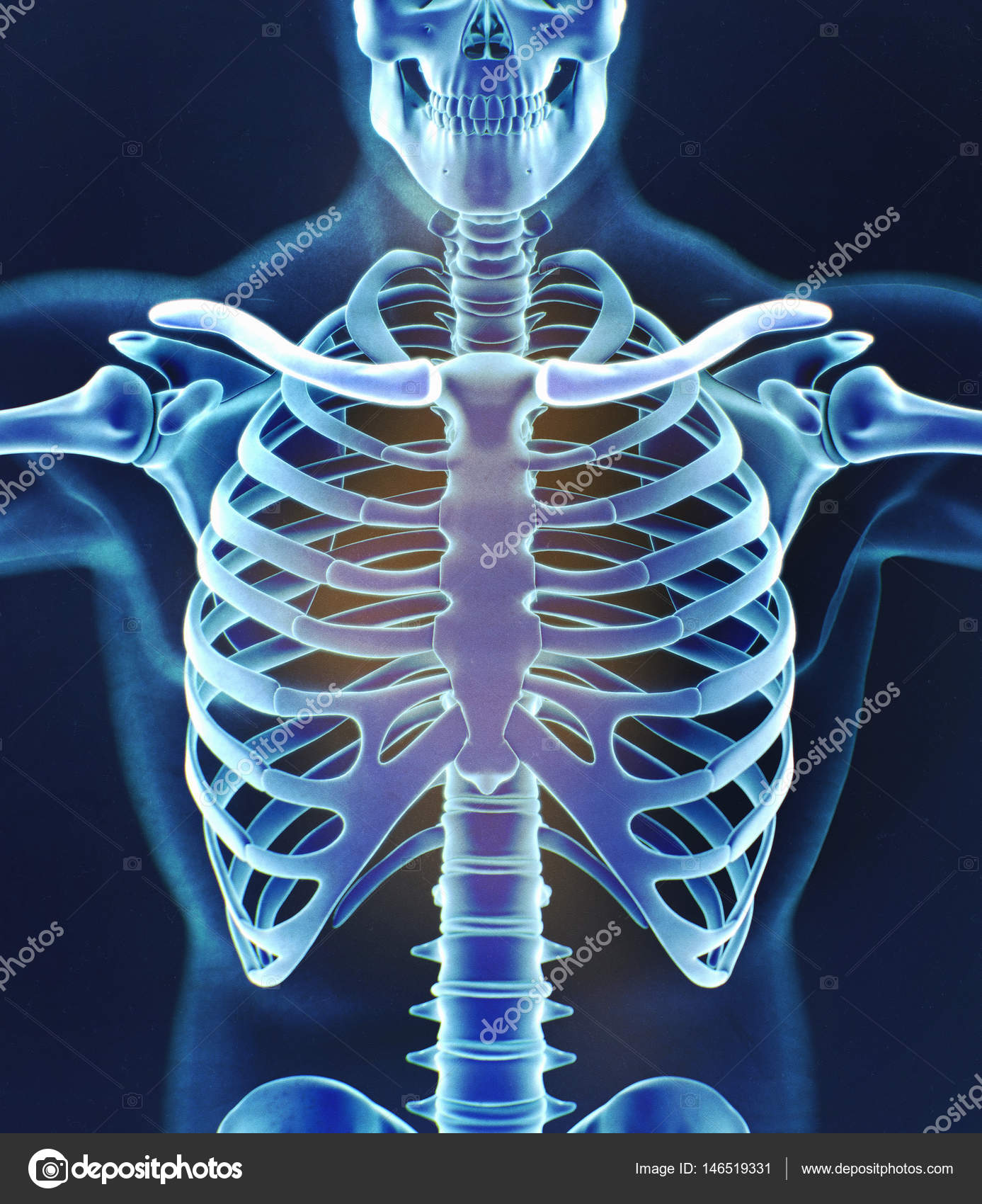 Human collar bones anatomy model — Stock Photo © AnatomyInsider ...