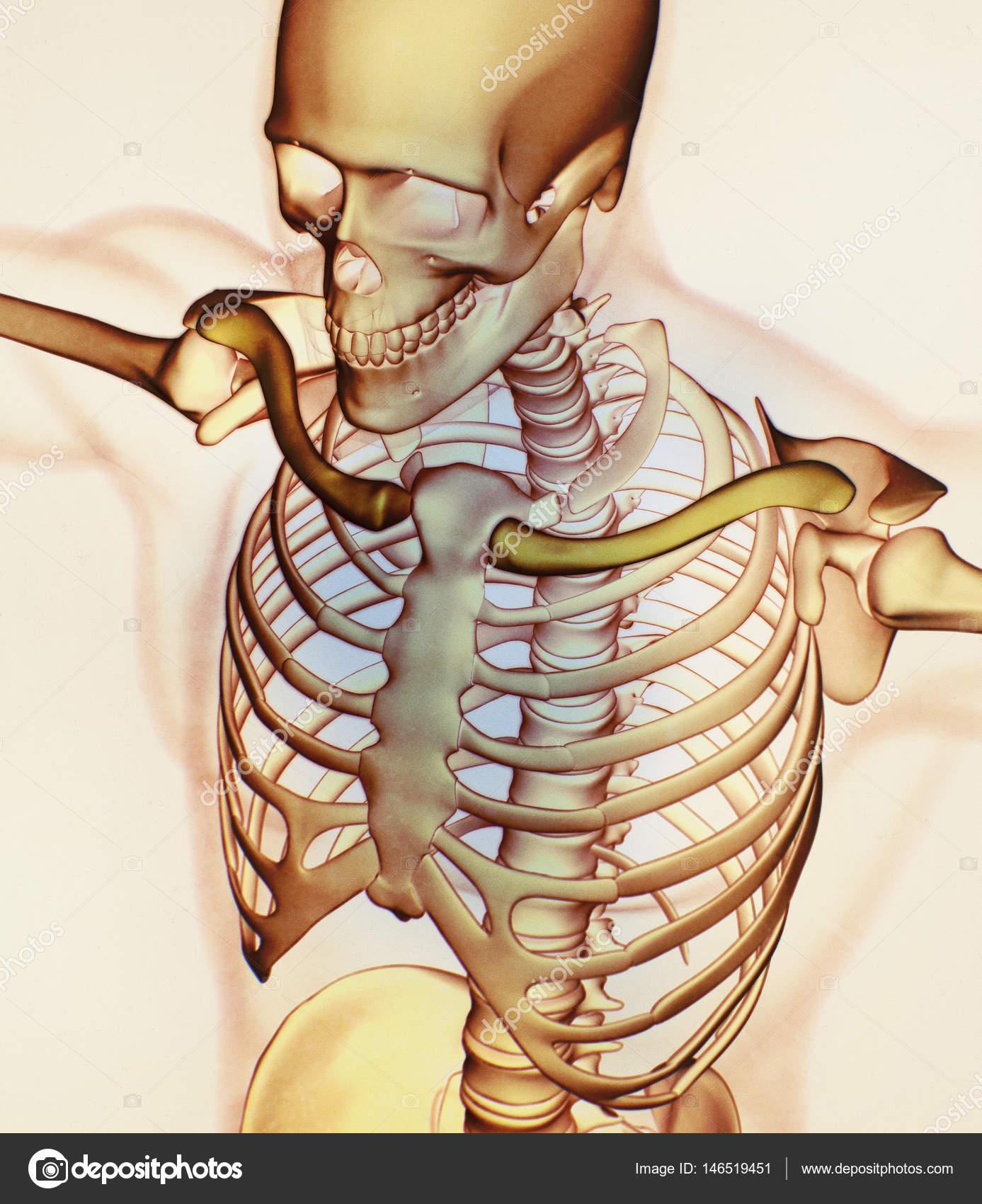 Human Collar Bones Anatomy Model Stock Photo Anatomyinsider