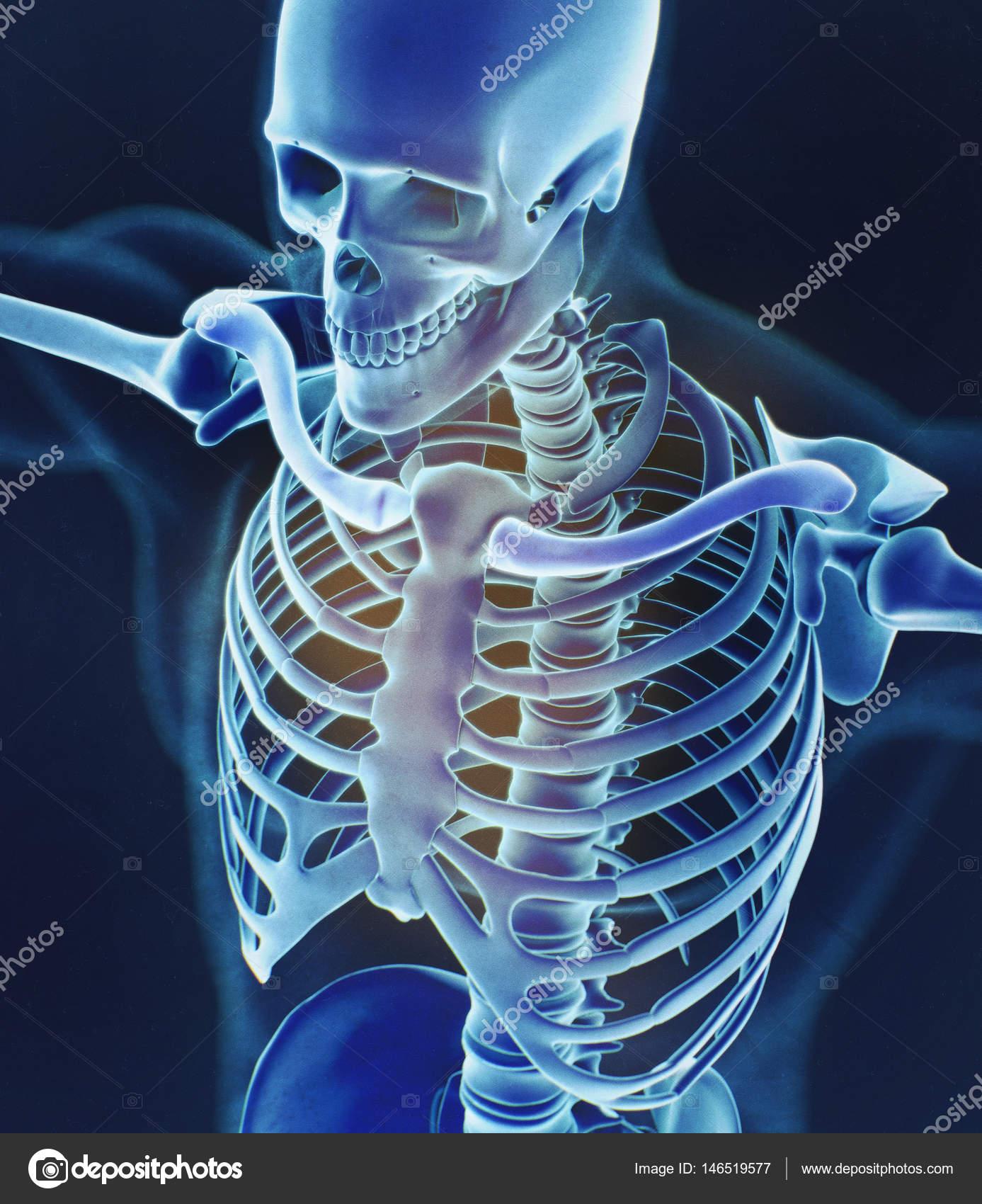 Menschlichen Kragen Knochen Anatomie Modell — Stockfoto ...