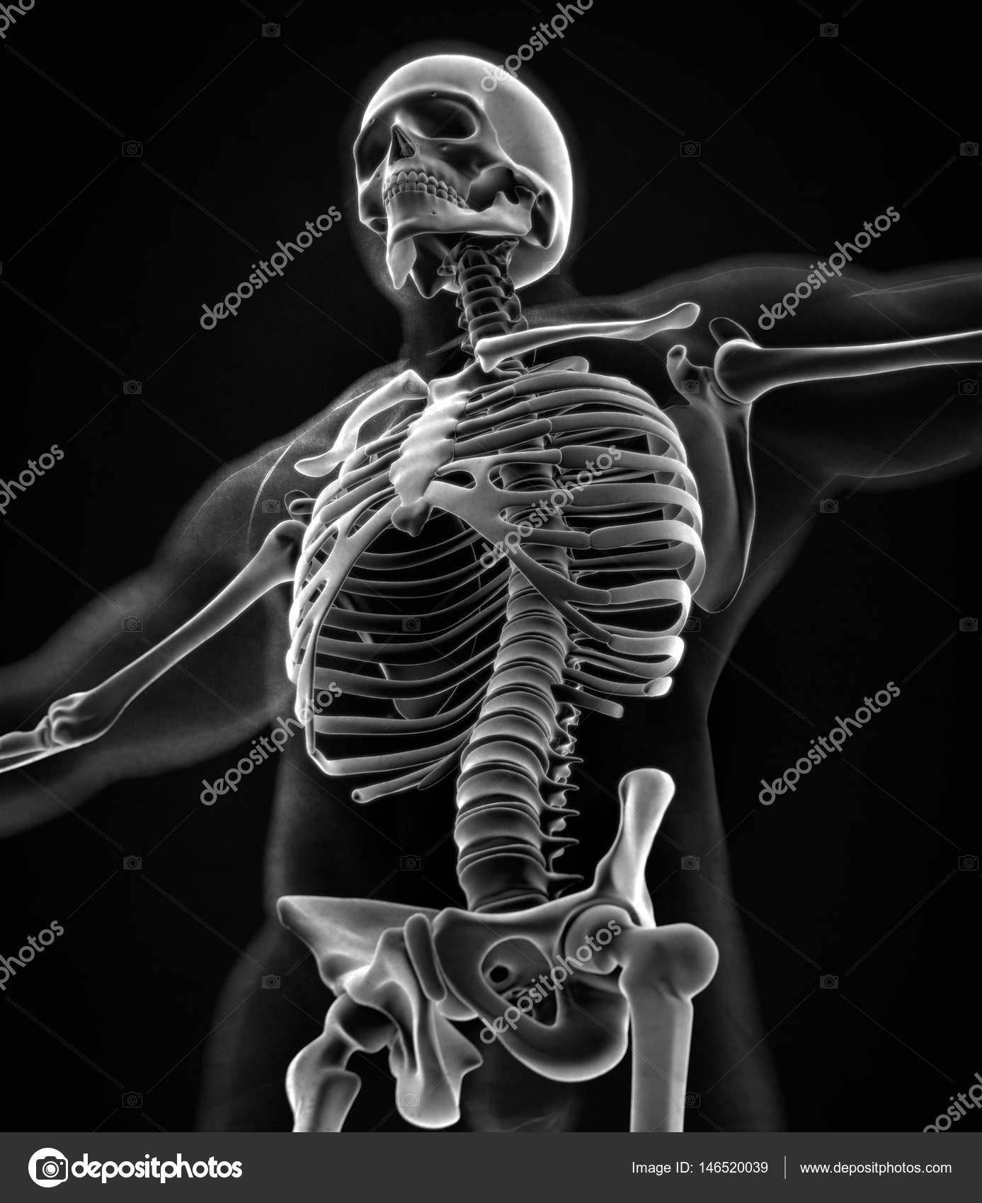 Modelo de anatomía humana collar huesos — Fotos de Stock ...