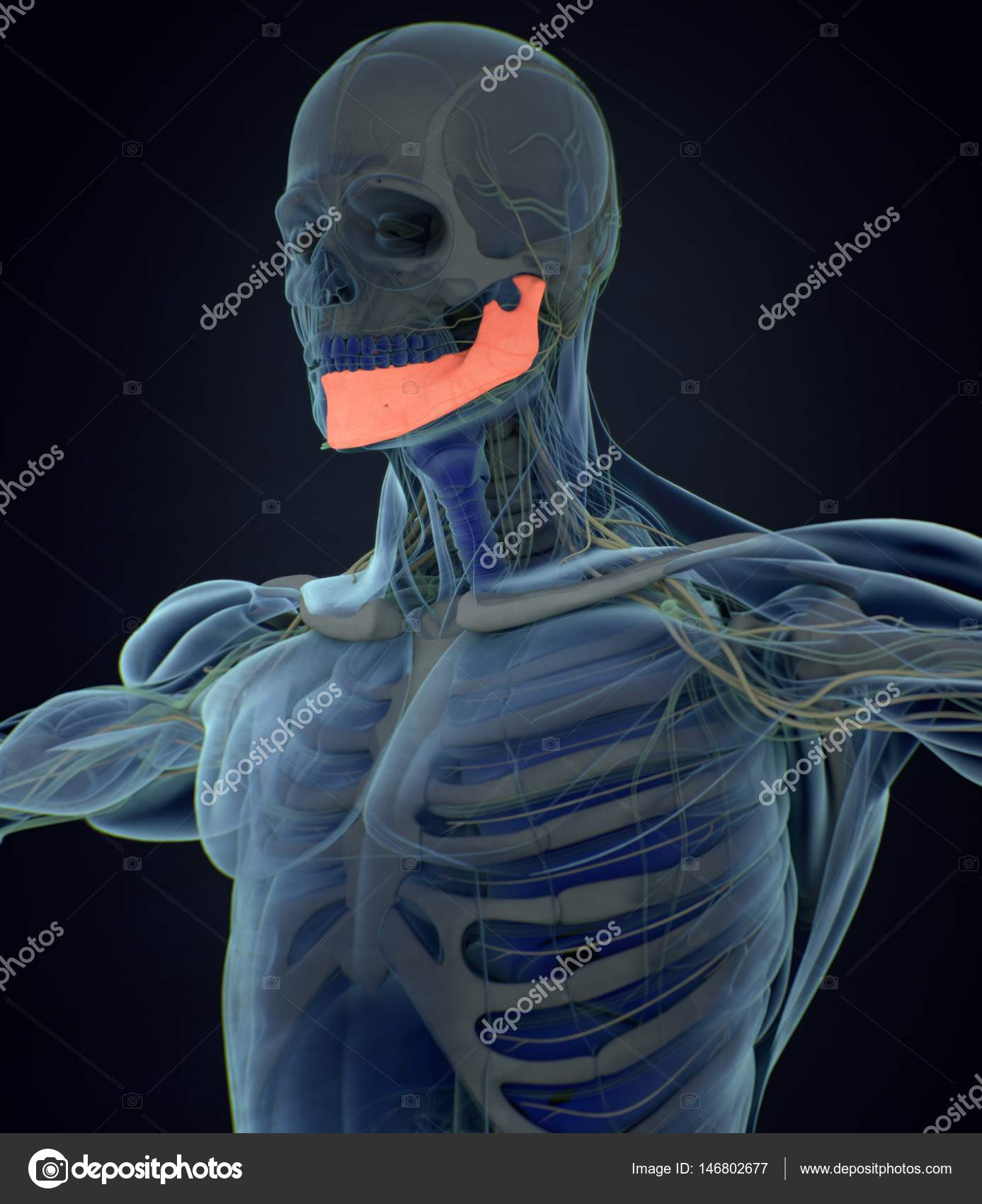 Human Jaw Anatomy Model Stock Photo Anatomyinsider 146802677