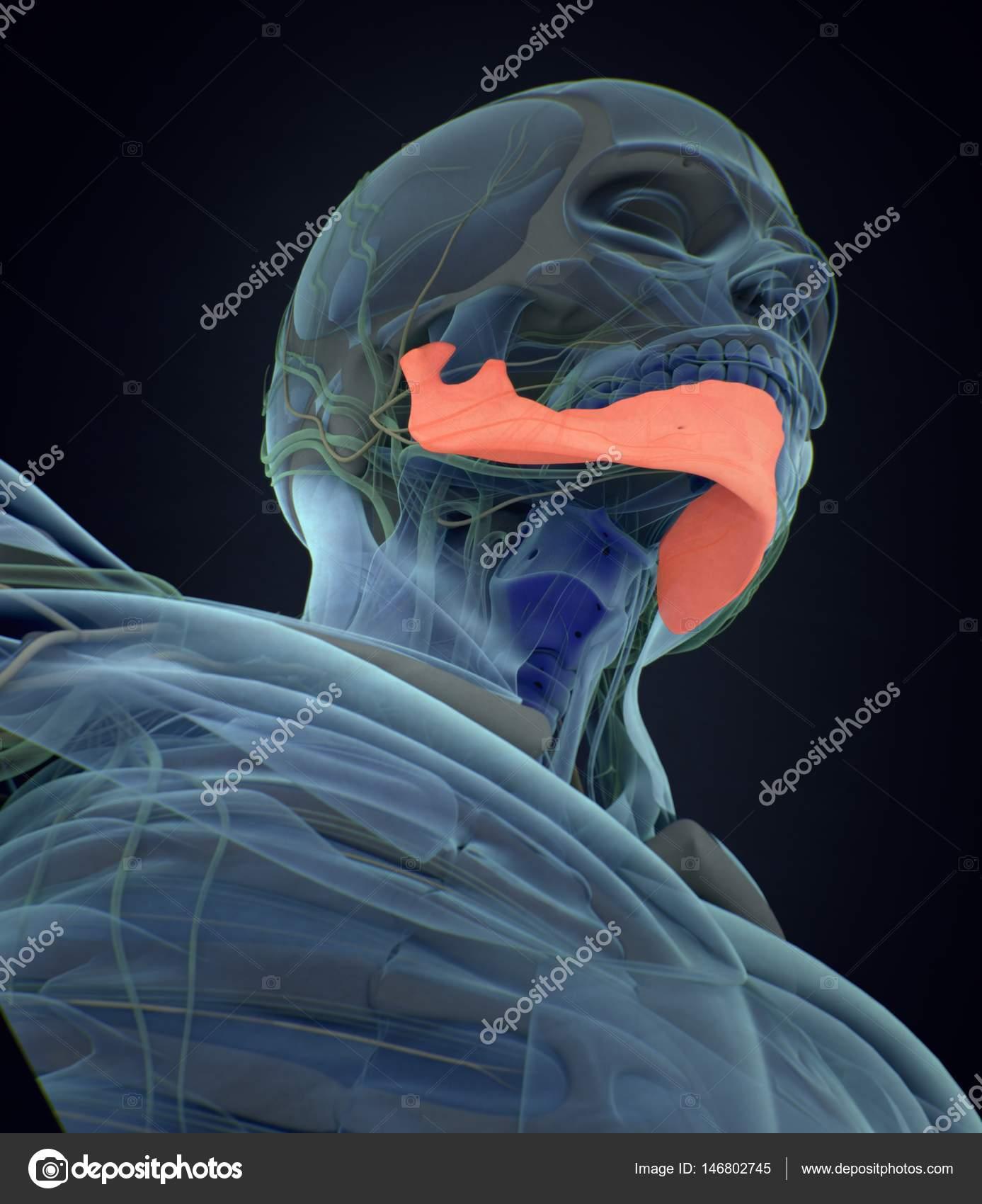 Menschliche Kiefer Anatomie Modell — Stockfoto © AnatomyInsider ...