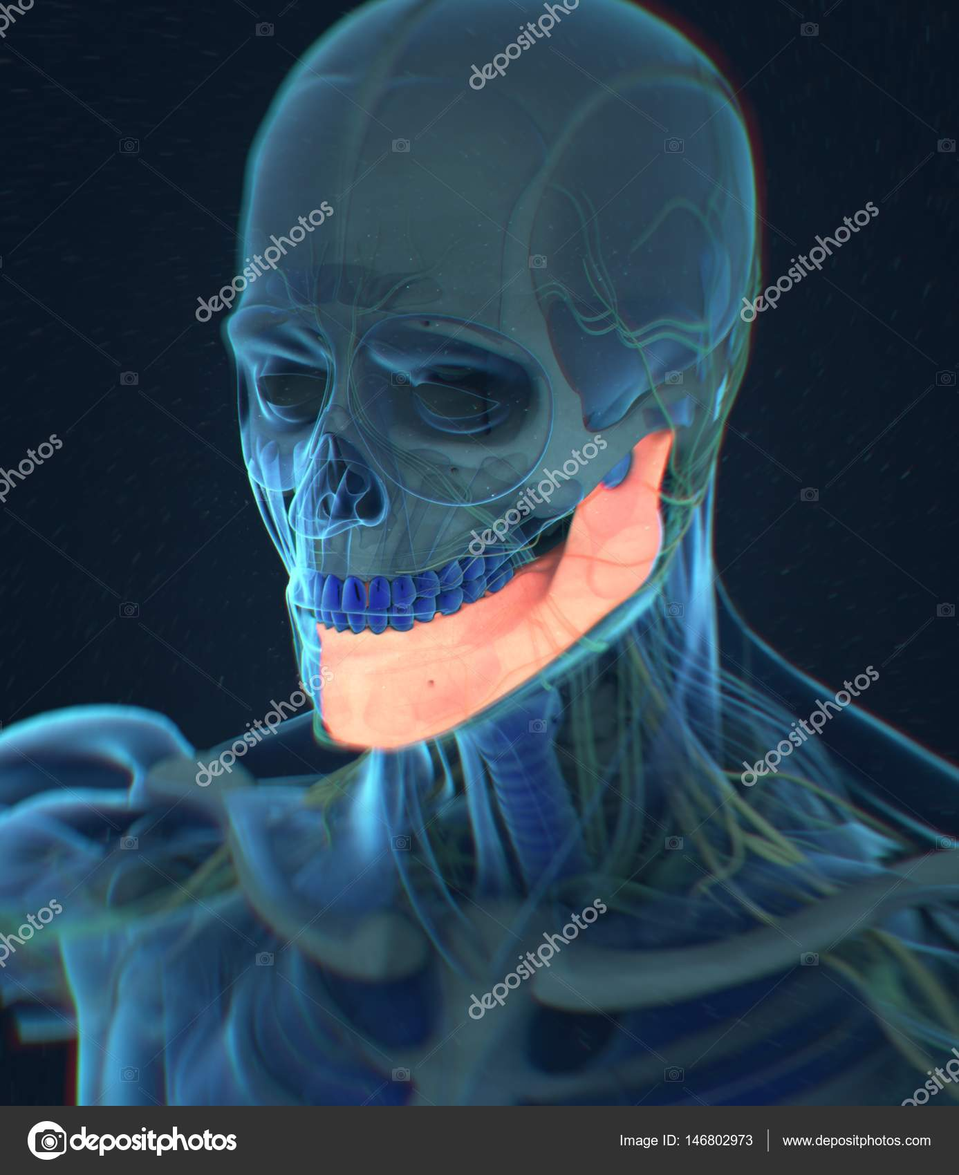 Human Jaw Anatomy Model Stock Photo Anatomyinsider 146802973