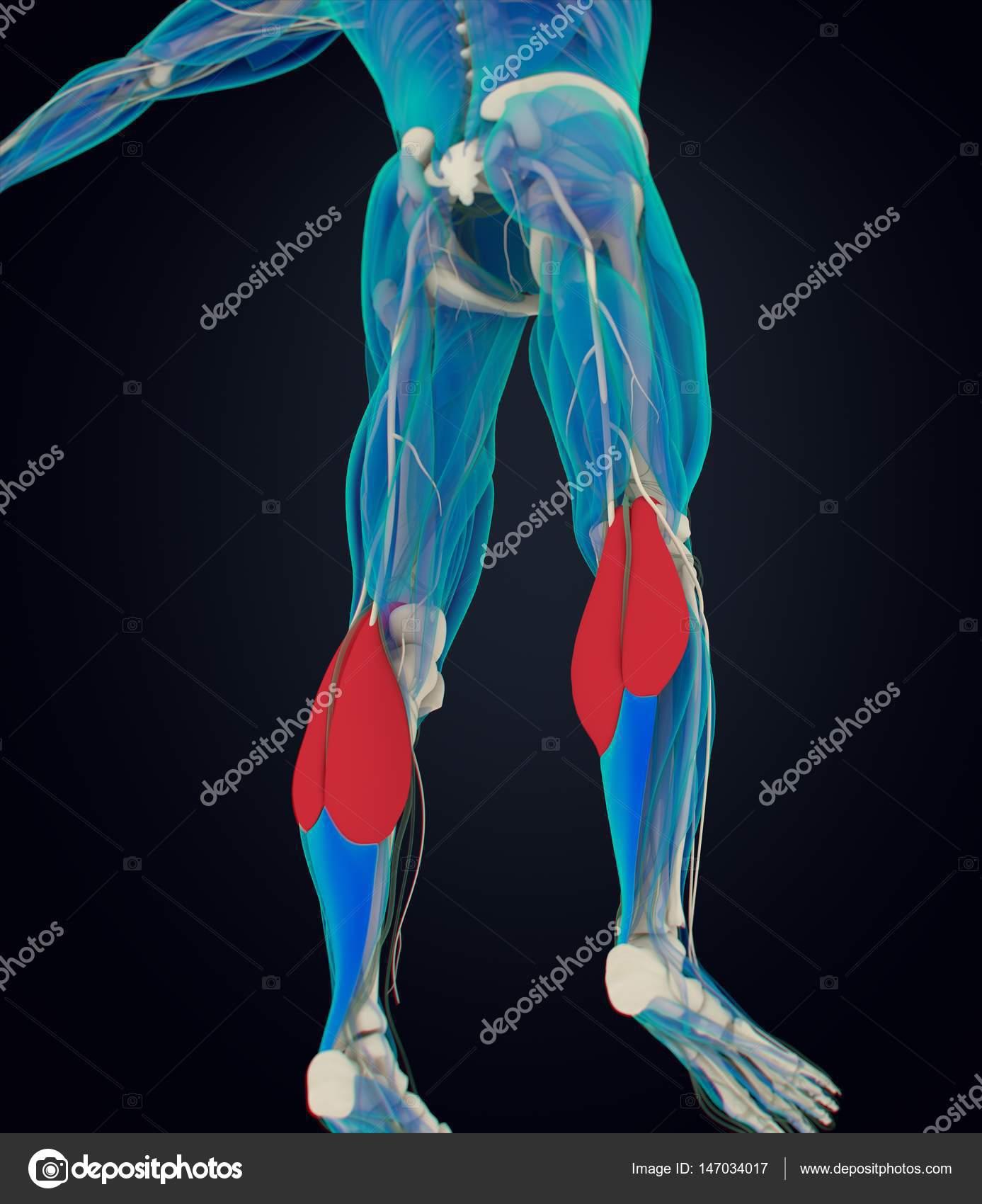 Modelo de anatomía de los músculos de gastrocnemius — Foto de stock ...