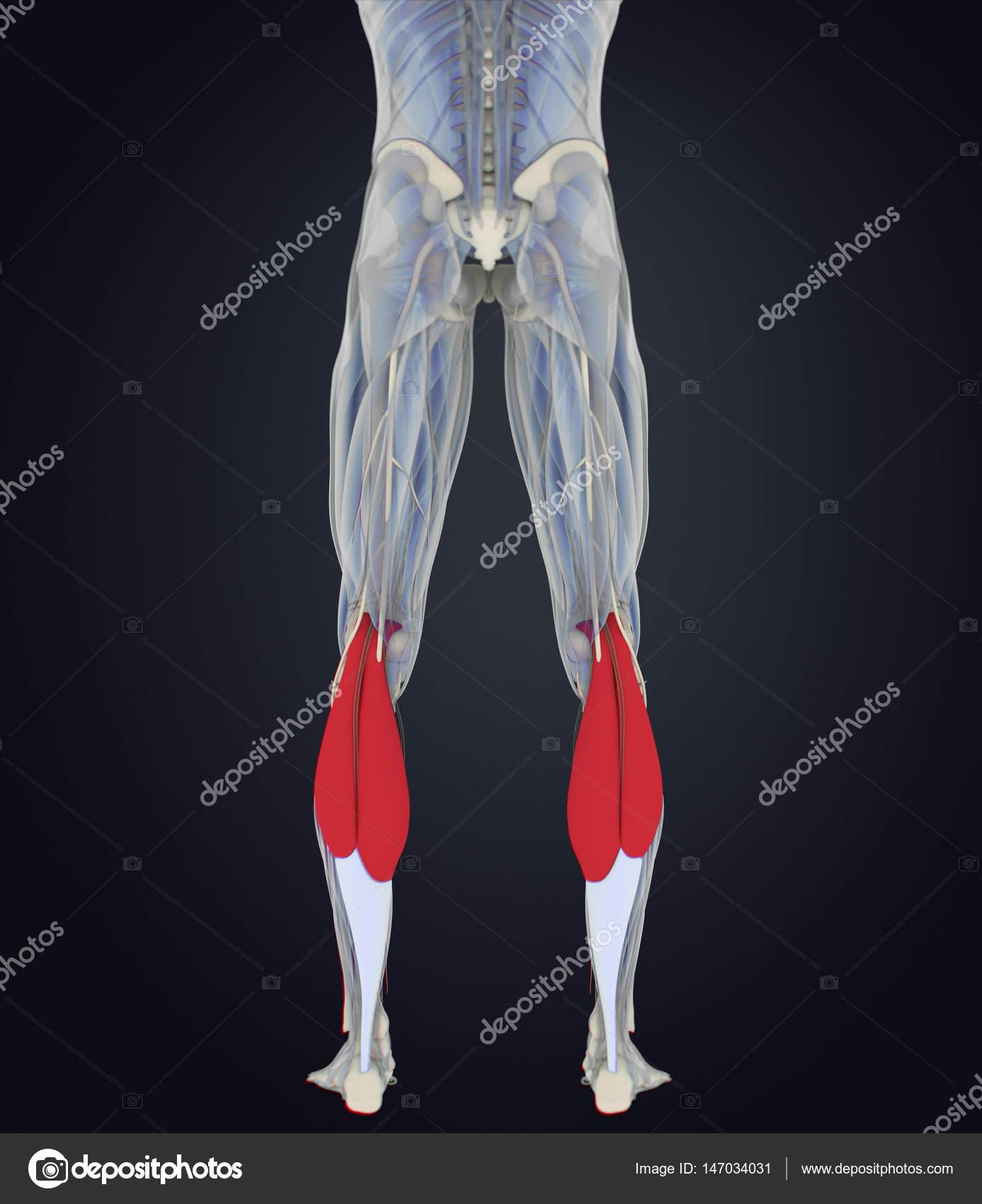 Modelo de anatomía de los músculos de gastrocnemius — Fotos de Stock ...