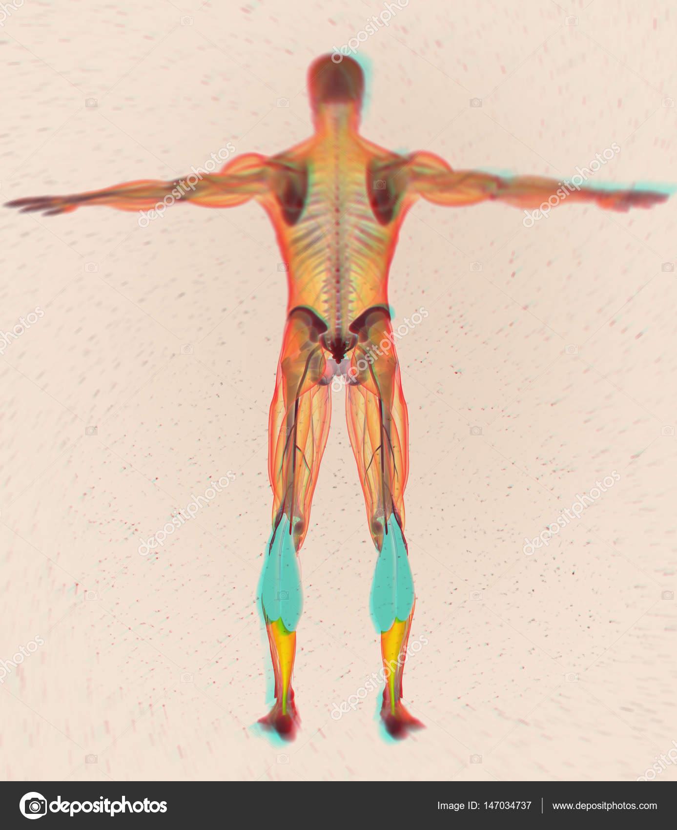 Gastrocnemius Muskeln Anatomie Modell — Stockfoto © AnatomyInsider ...