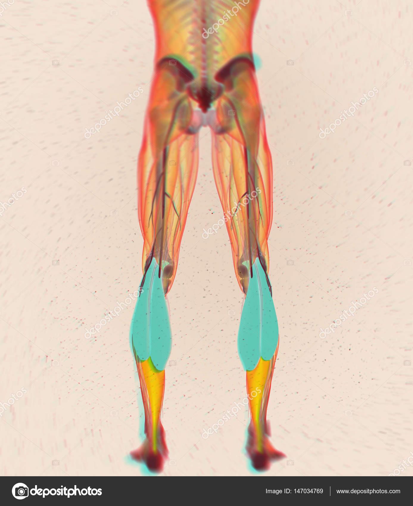 Gastrocnemius Muscles Anatomy Model Stock Photo Anatomyinsider