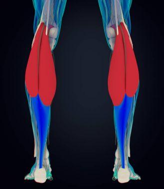 Gastrocnemius muscles anatomy model