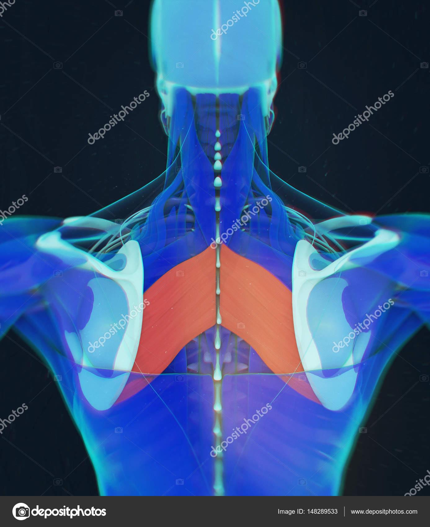 Modelo de anatomía de músculos romboides mayor — Fotos de Stock ...