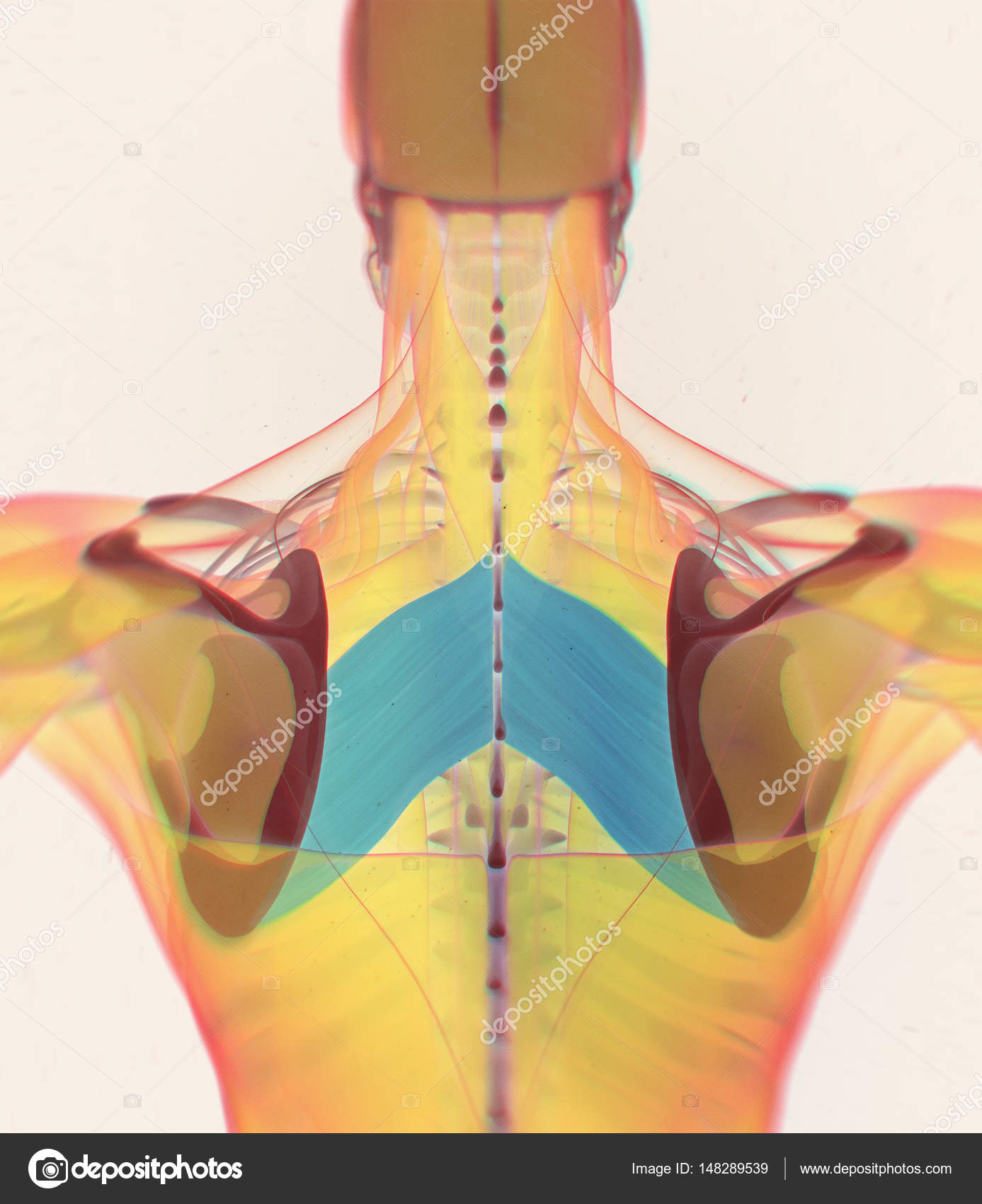 Modelo de anatomía de músculos romboides mayor — Foto de stock ...