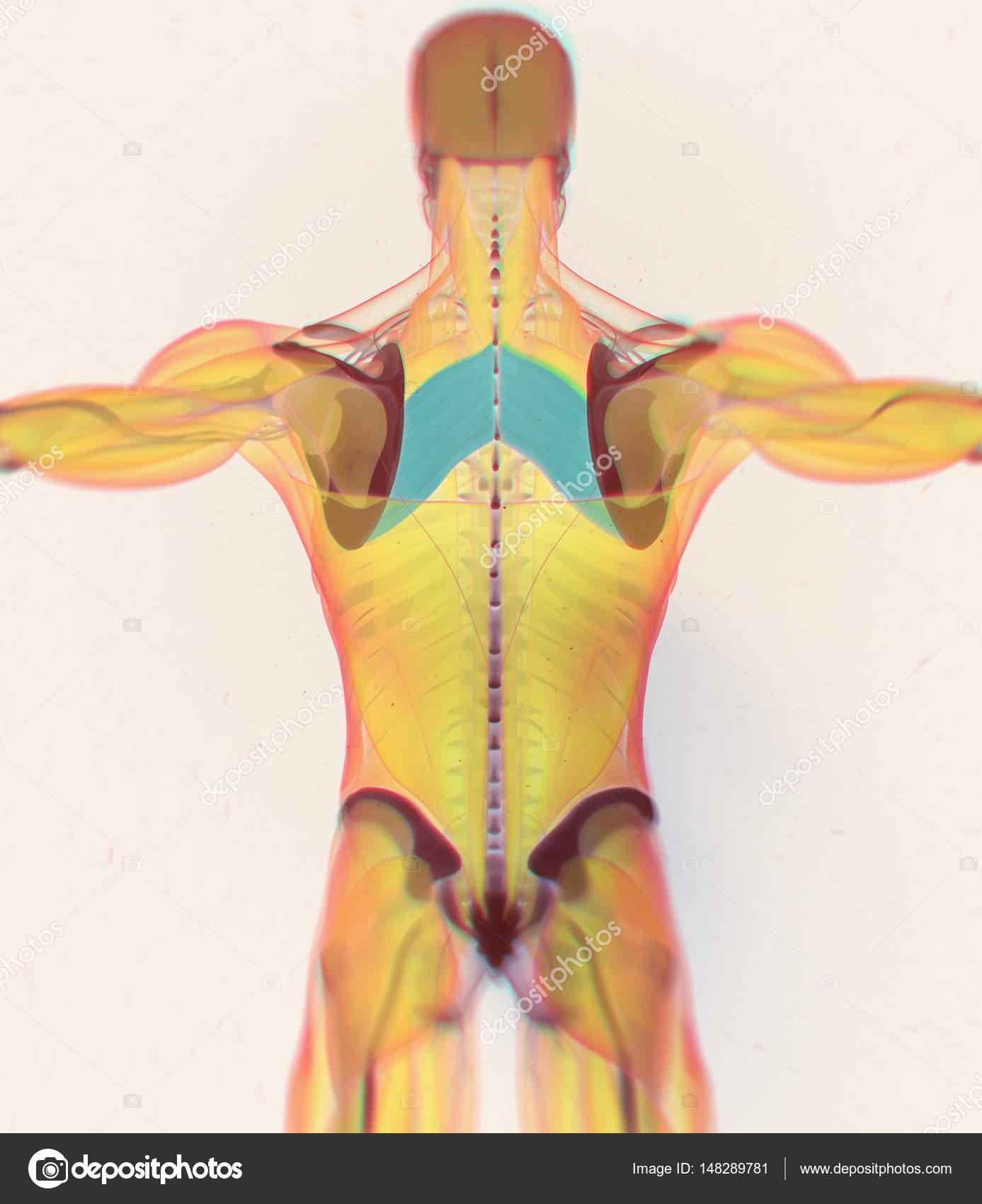Rautenförmigen Hauptmuskeln Anatomie Modell — Stockfoto ...
