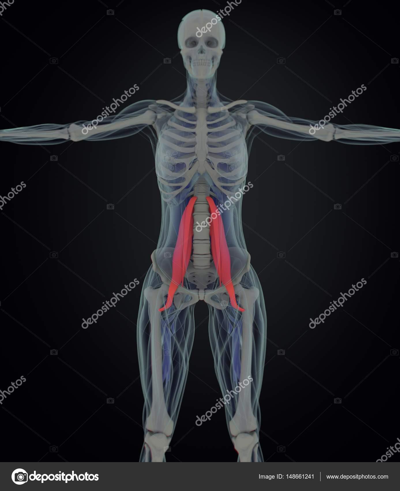 weibliche Psoas Muskeln Anatomie Modell — Stockfoto © AnatomyInsider ...