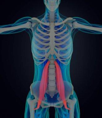 female psoas muscles anatomy model