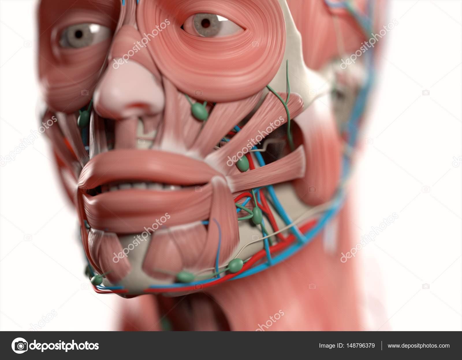 Human Face Anatomy Model Stock Photo Anatomyinsider 148796379