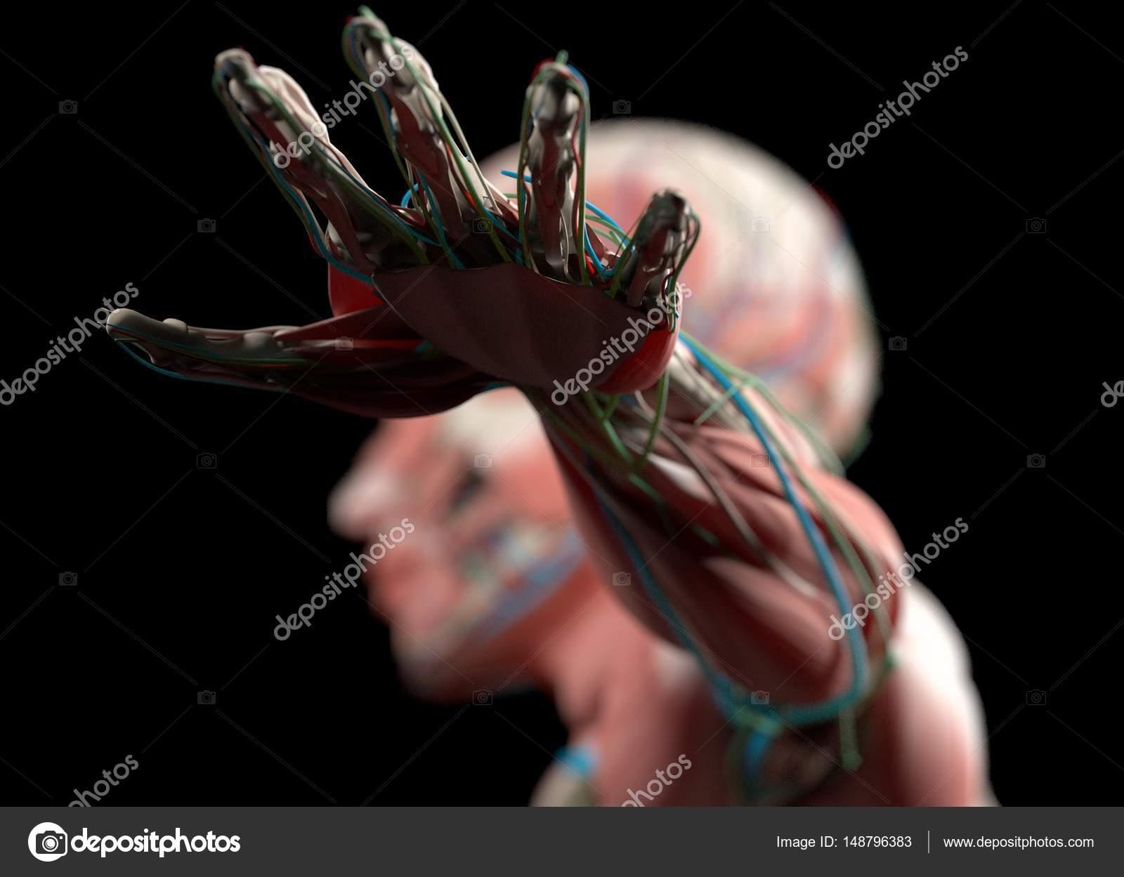 menschliche Anatomie Handmodell — Stockfoto © AnatomyInsider #148796383