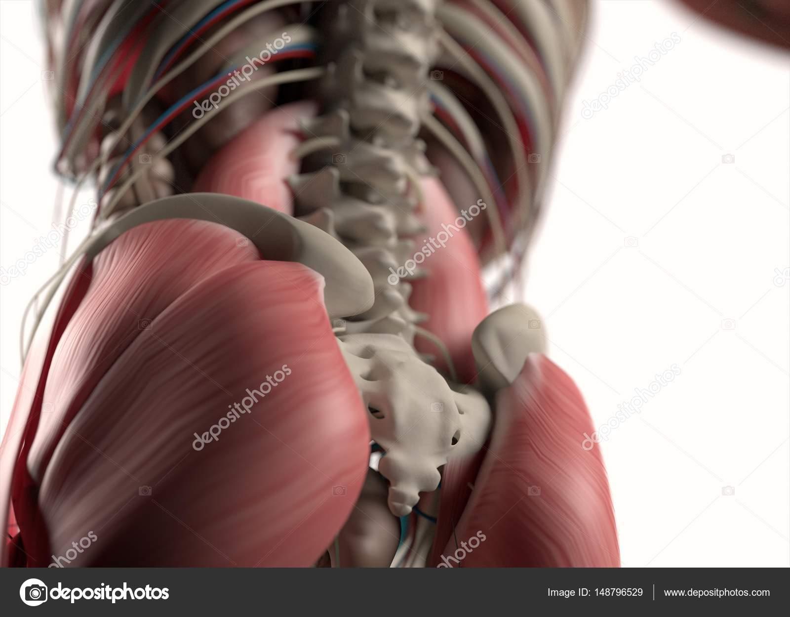 Menschmodell untere hintere Anatomie — Stockfoto © AnatomyInsider ...
