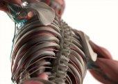 Model lidské anatomie zad