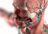 Human vascular system anatomy model