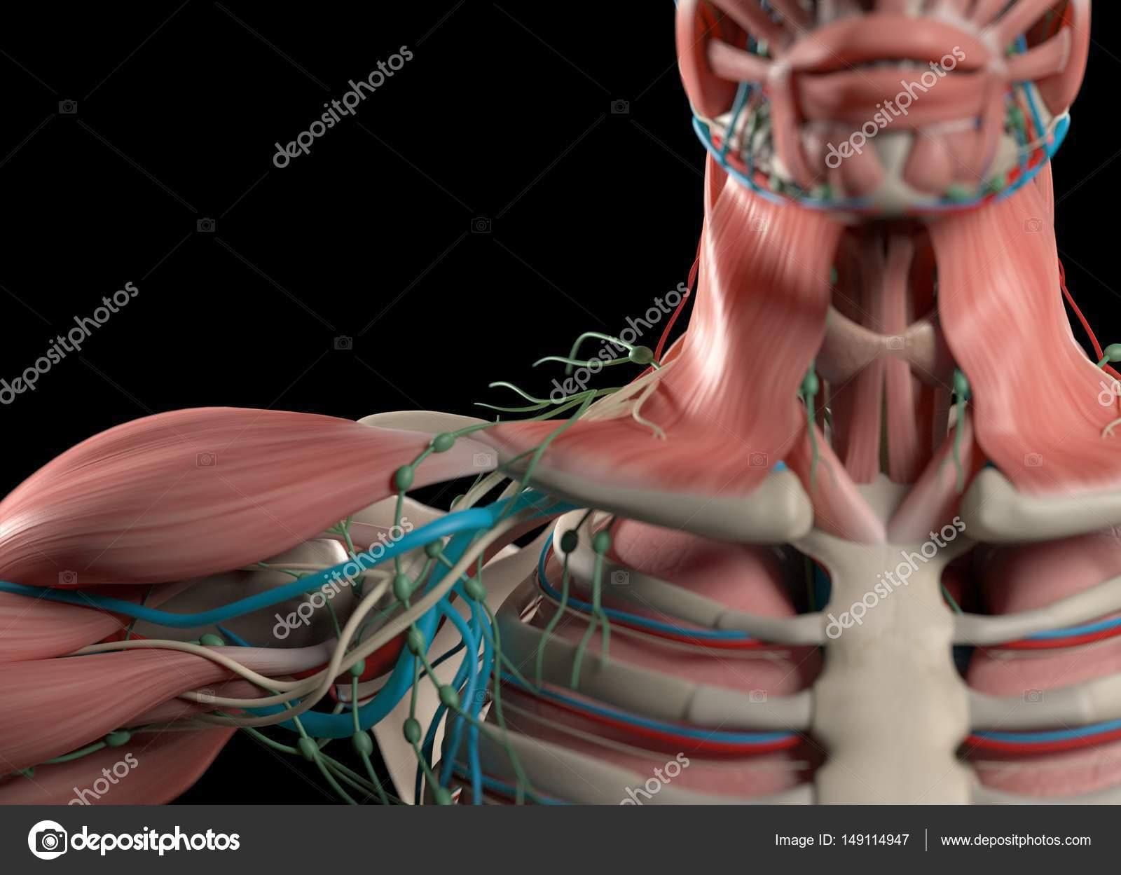 Modelo de anatomía humana de hombro — Fotos de Stock ...
