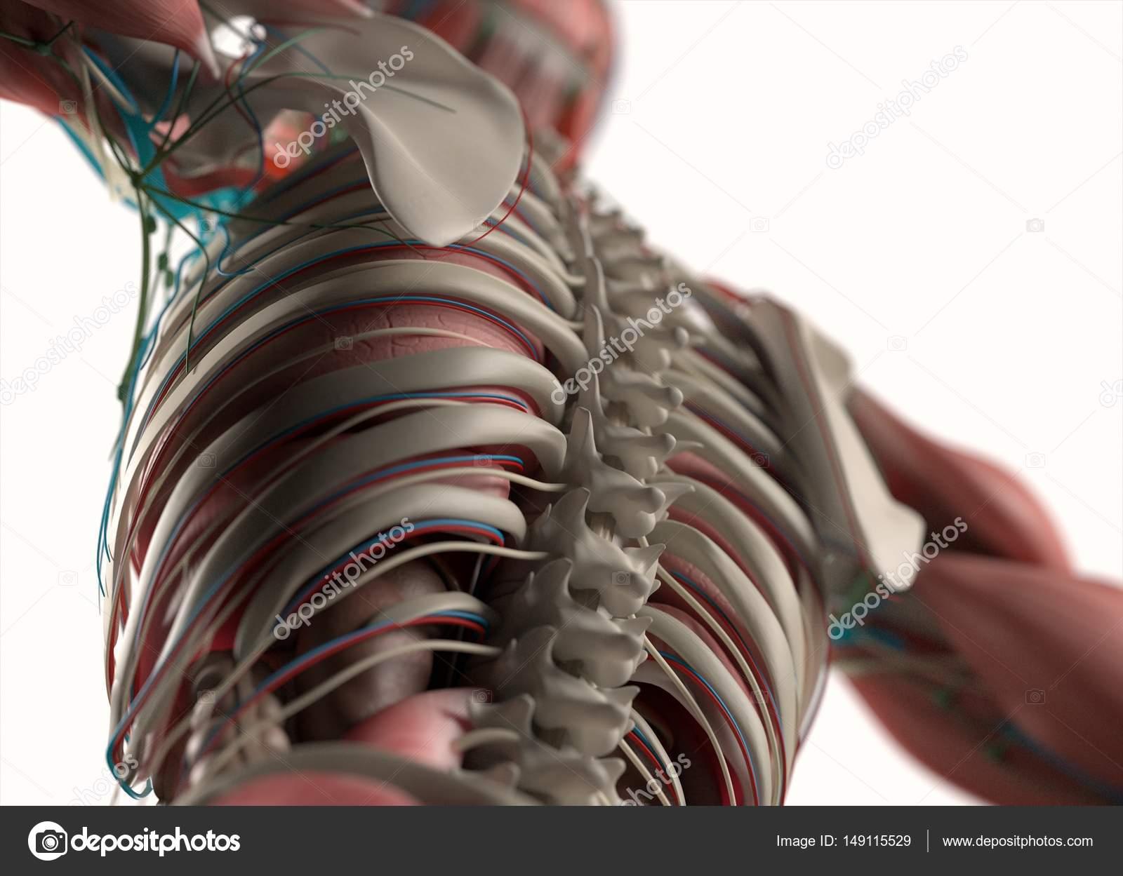 Bonito Huesos De La Espalda Anatomía Humana Imagen - Anatomía de Las ...