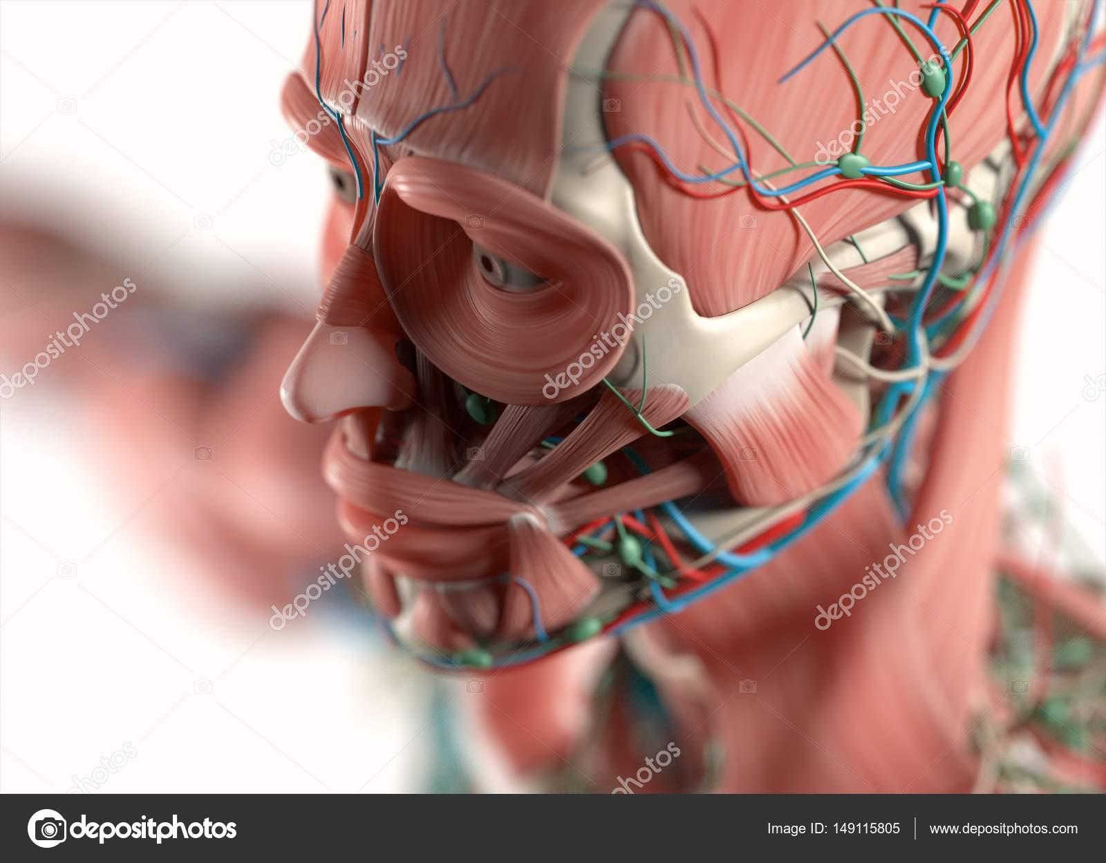 Menschliches Gesicht Anatomie Modell — Stockfoto © AnatomyInsider ...