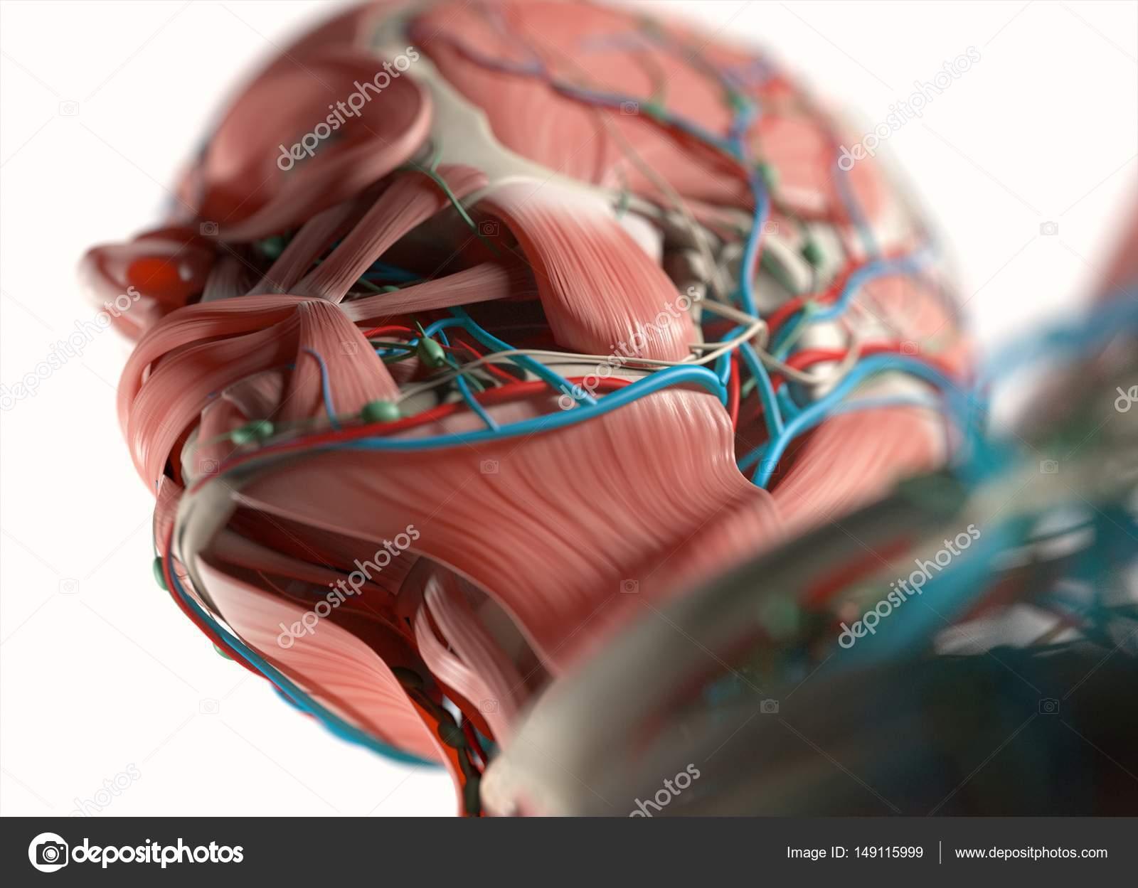 Modelo de anatomía del rostro humano — Foto de stock ...