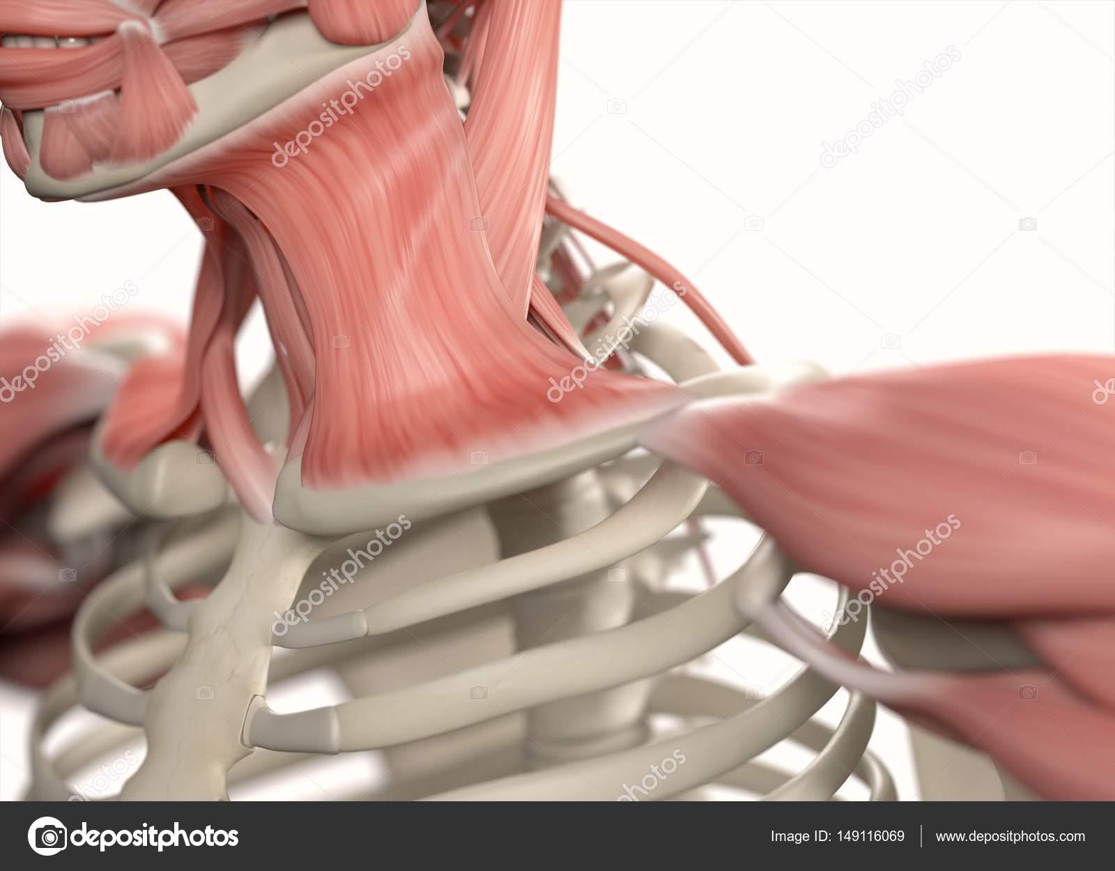 Menschlichen Schulter-Anatomie-Modell — Stockfoto © AnatomyInsider ...