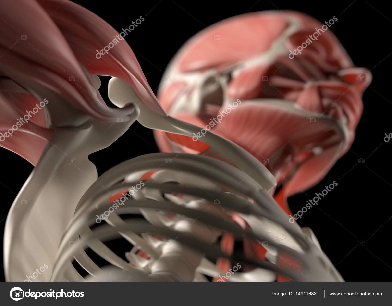 Modelo de anatomía humana de hombro — Foto de stock © AnatomyInsider ...