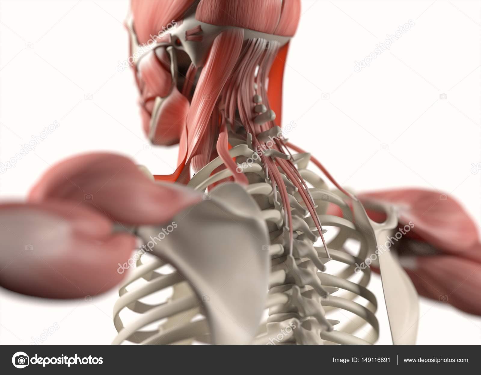 Anatomie des Menschen zurück-Modell — Stockfoto © AnatomyInsider ...