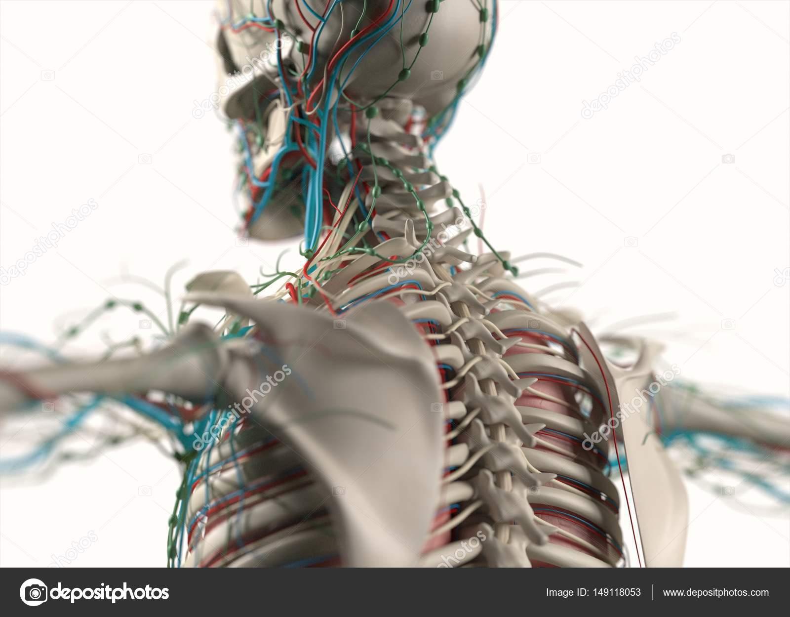 sistemas vasculares y nerviosos del ser humano — Foto de stock ...