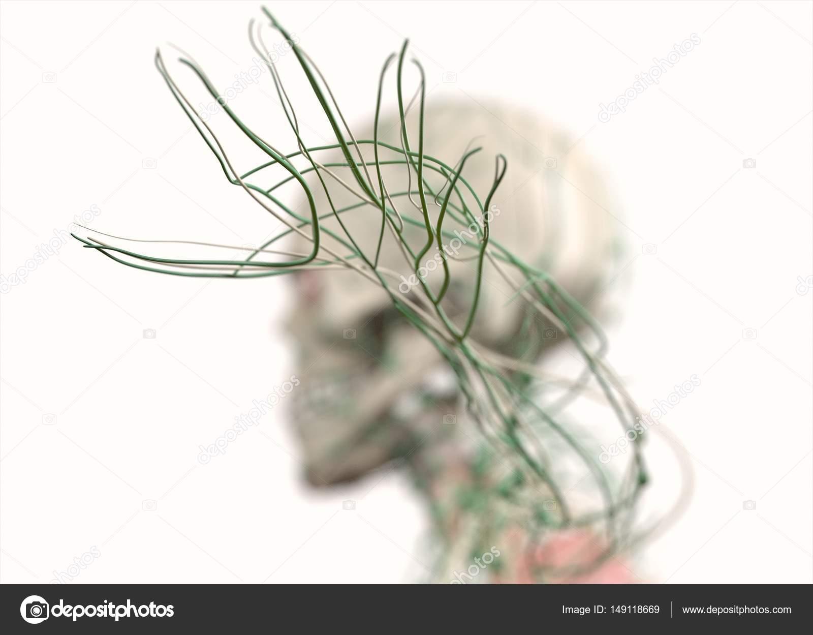 menschliche Hand mit Nerven — Stockfoto © AnatomyInsider #149118669