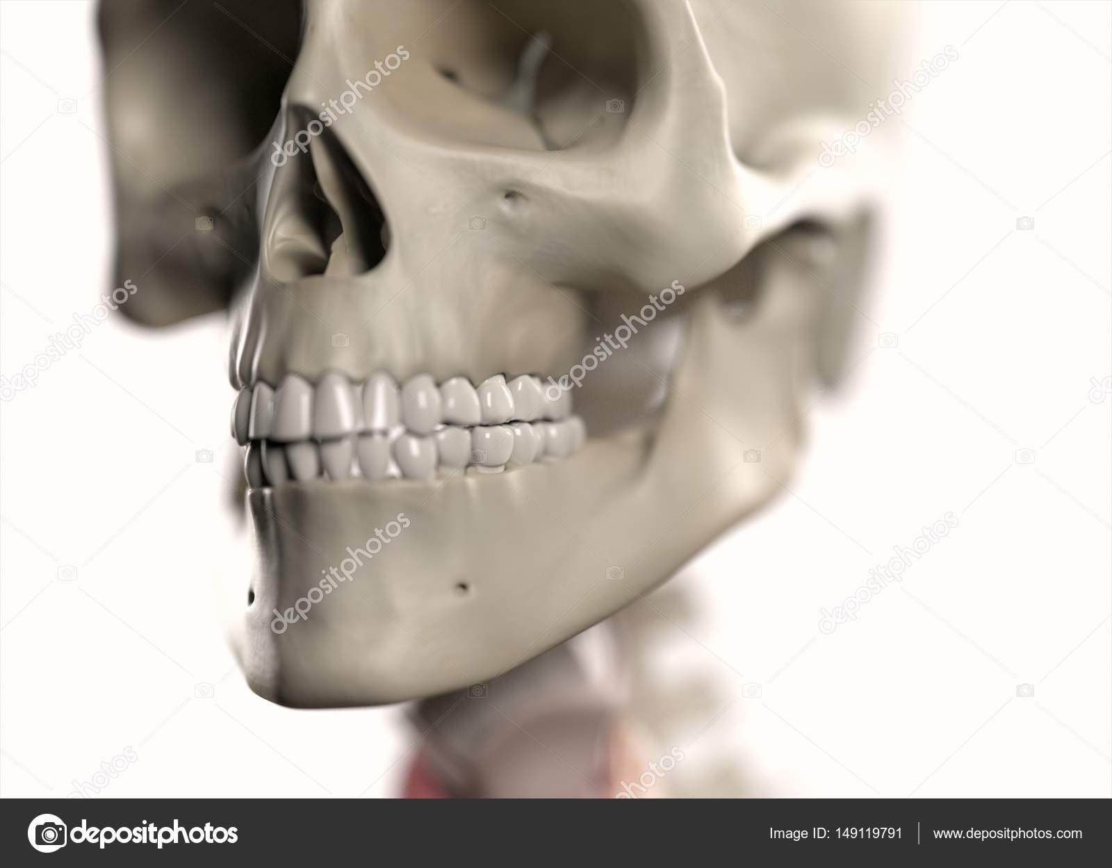 Human Skull anatomy model — Stock Photo © AnatomyInsider #149119791