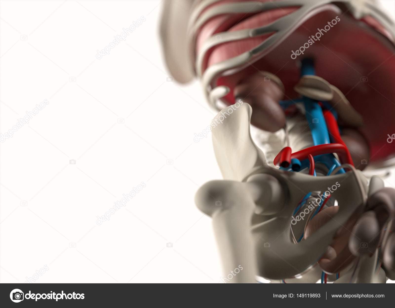 Menschliche Gefäßsystem Anatomie Modell — Stockfoto © AnatomyInsider ...