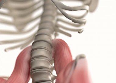 Human spine and pelvis anatomy model