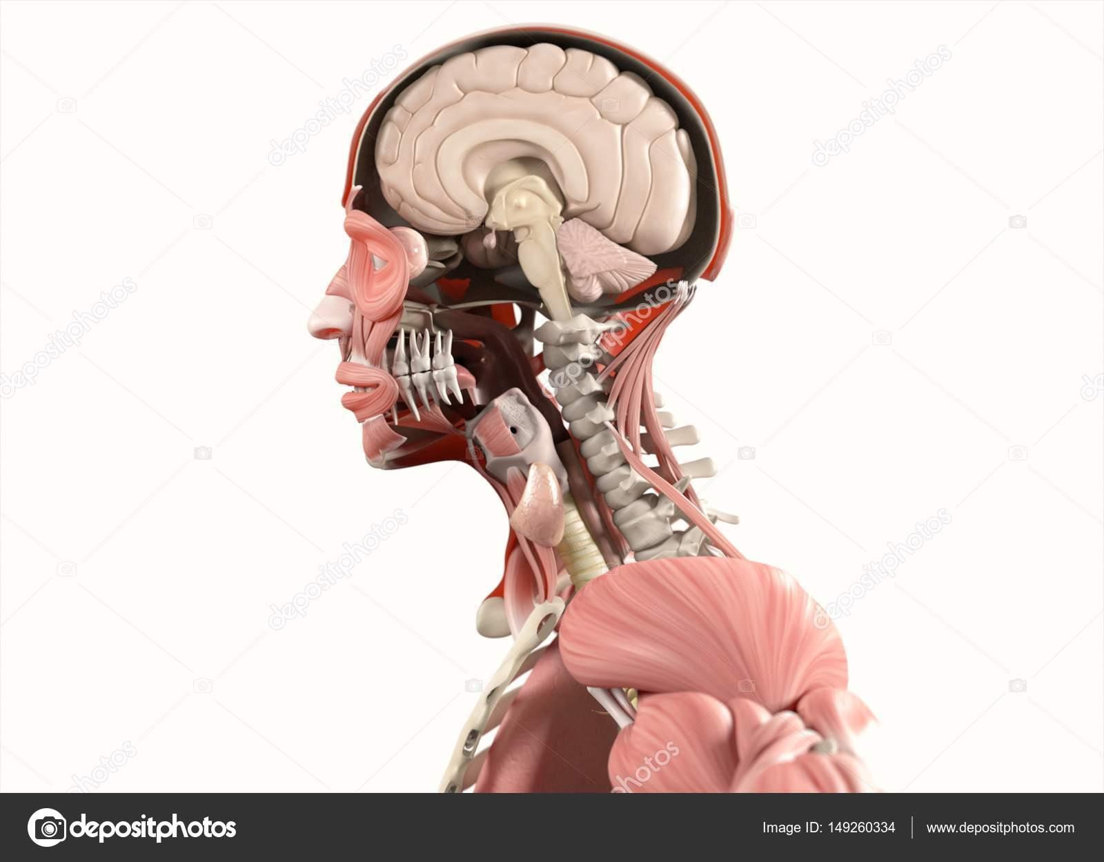 modelo de anatomía con medio abierto cráneo — Fotos de Stock ...