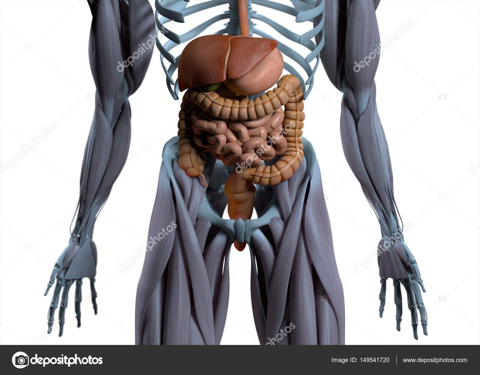 Modelo de anatomía del sistema digestivo — Fotos de Stock ...