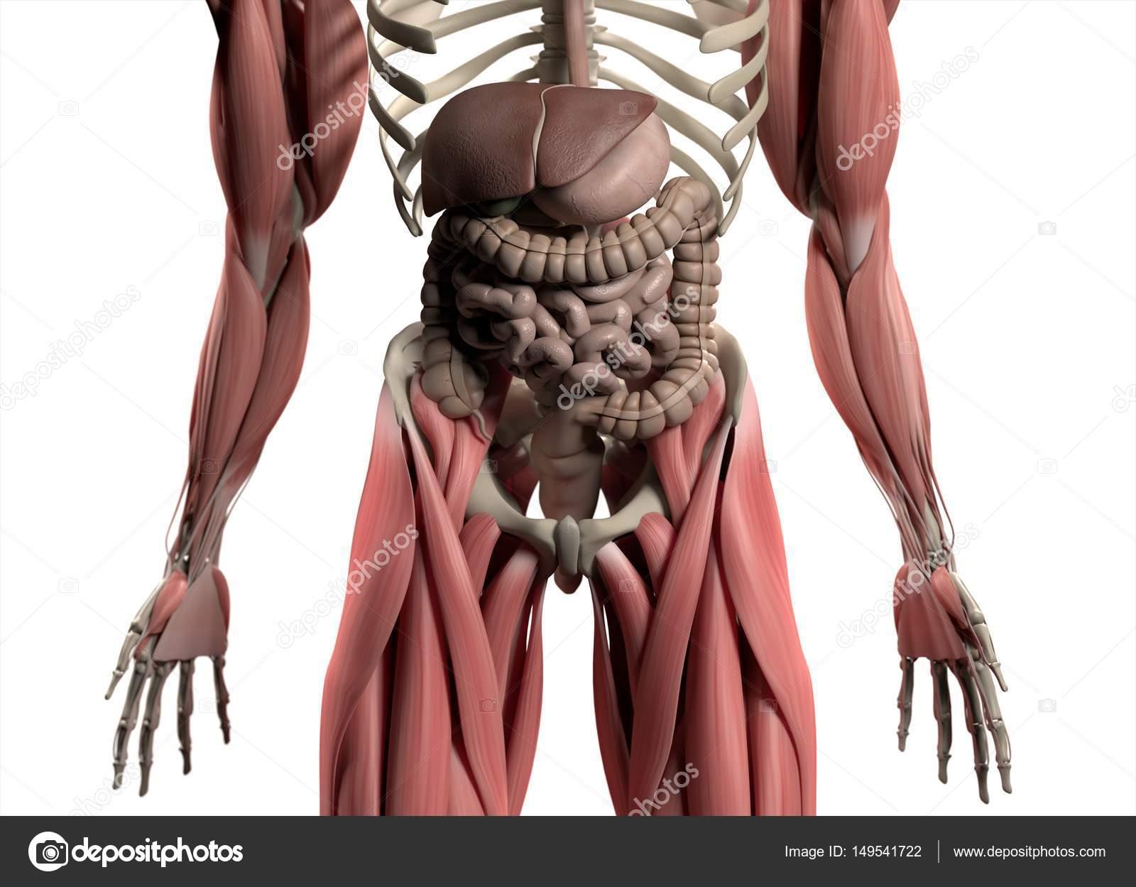 Modelo de anatomía del sistema digestivo — Foto de stock ...