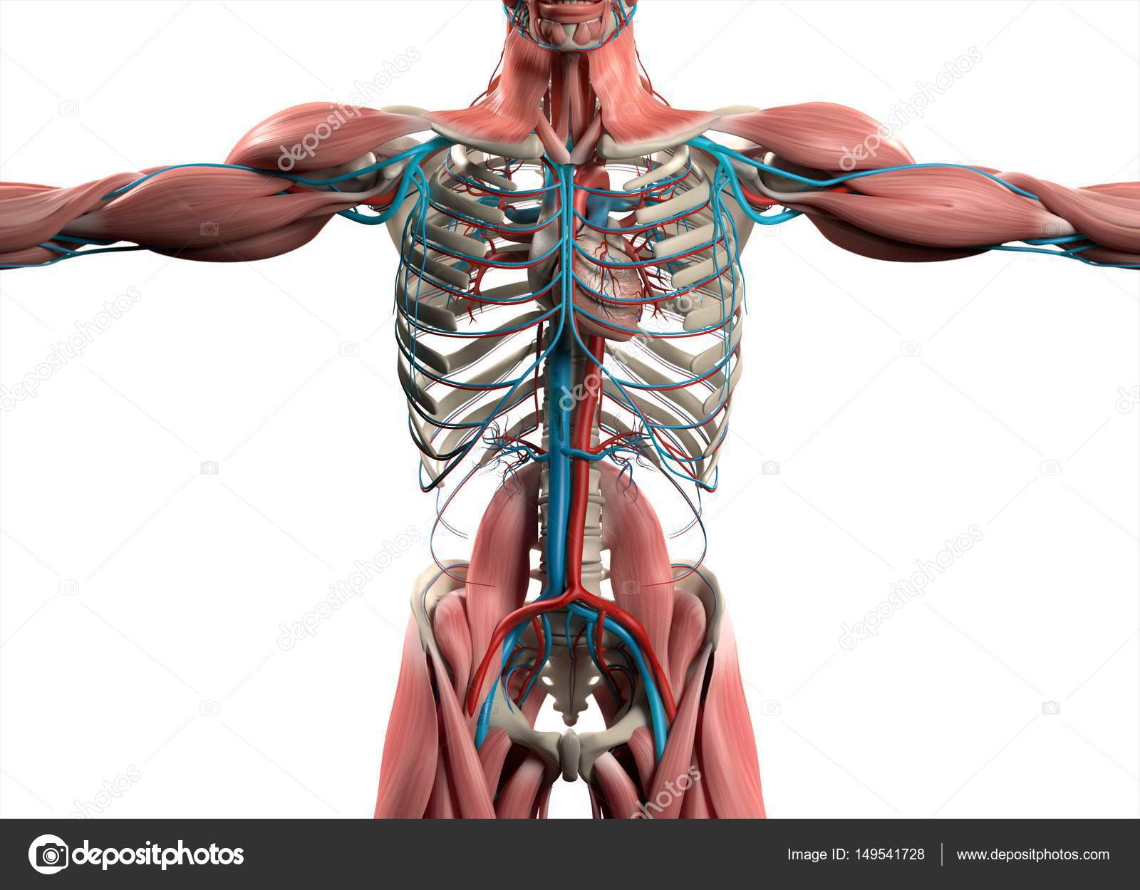 Modelo de corazón humano Anatomía — Foto de stock © AnatomyInsider ...