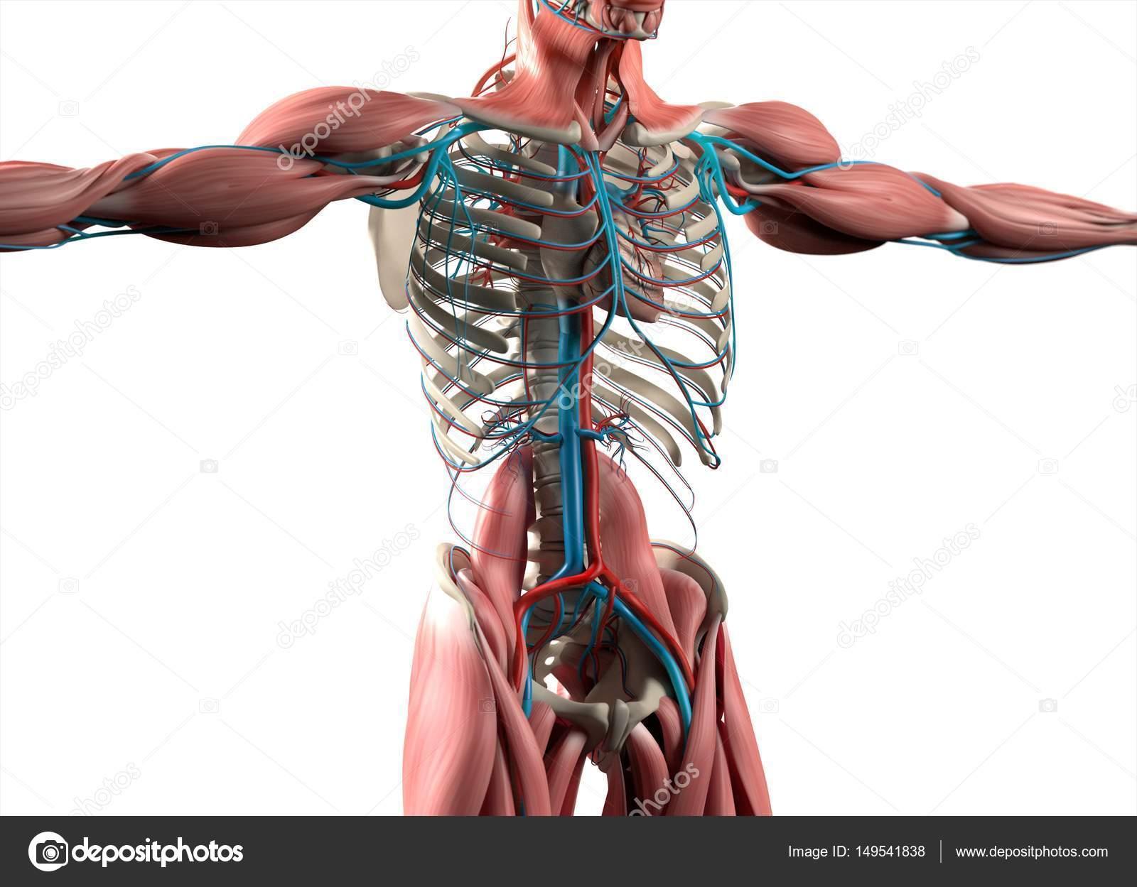 Menschliches Herz-Anatomie-Modell — Stockfoto © AnatomyInsider ...