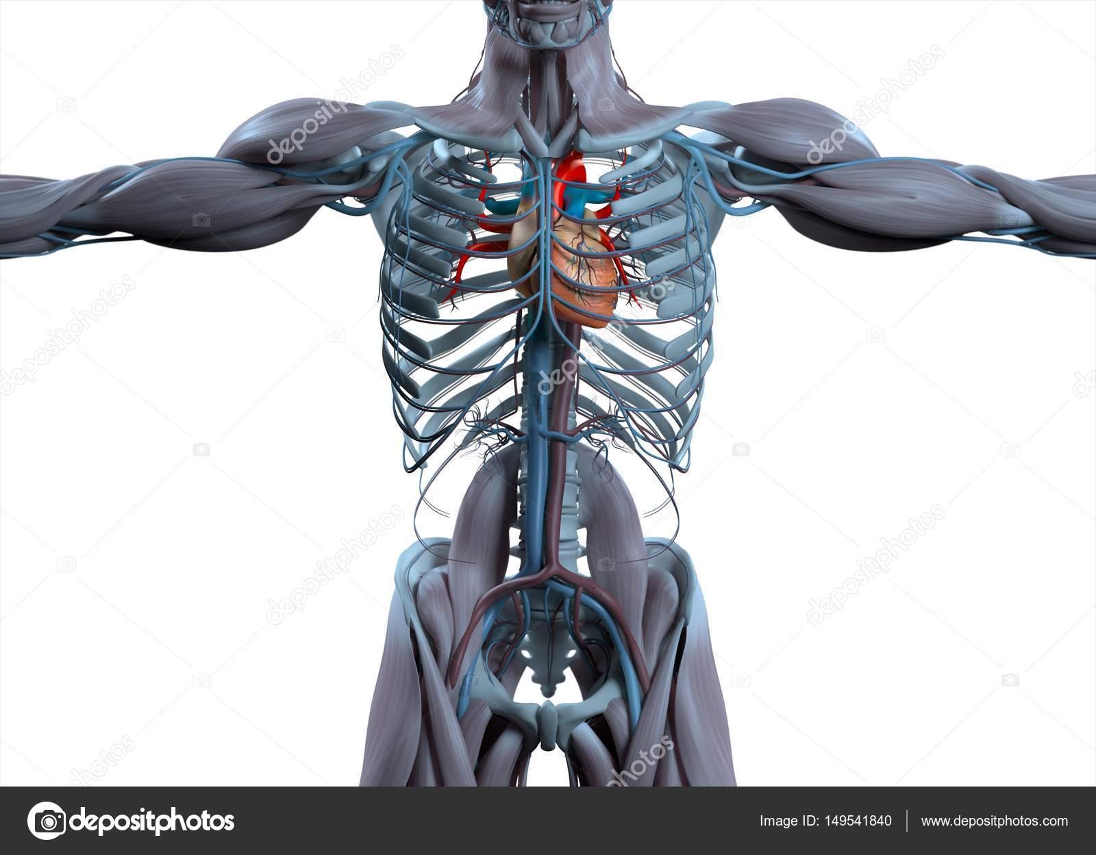 Human heart anatomy model — Stock Photo © AnatomyInsider #149541840