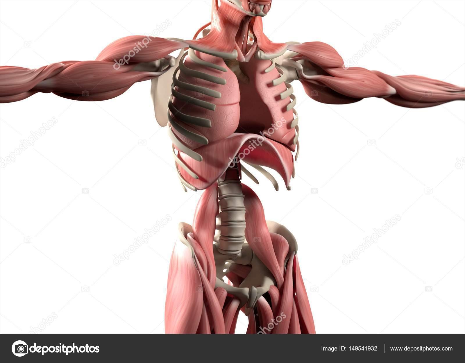Ziemlich 3d Anatomie Modell Bilder - Anatomie Von Menschlichen ...