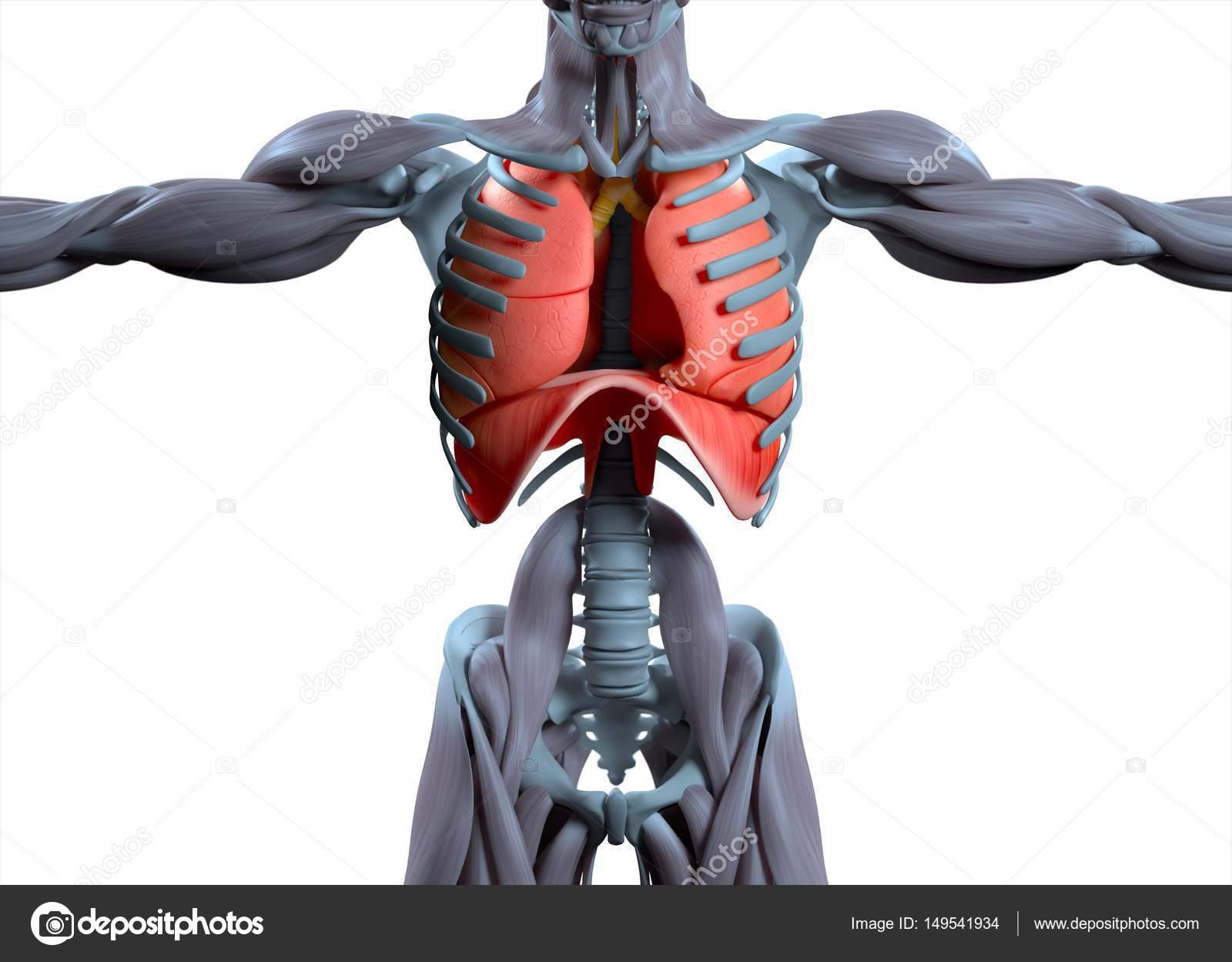 human lungs anatomy model — Stock Photo © AnatomyInsider #149541934