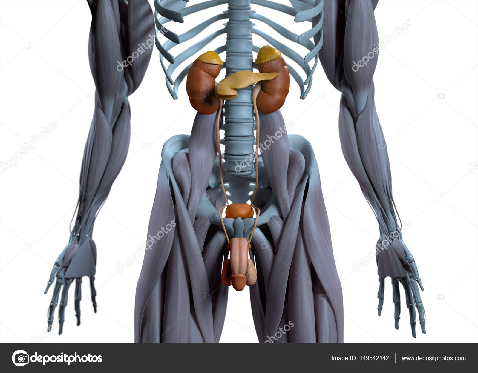 Pictures : the male urinary system | Male urinary system