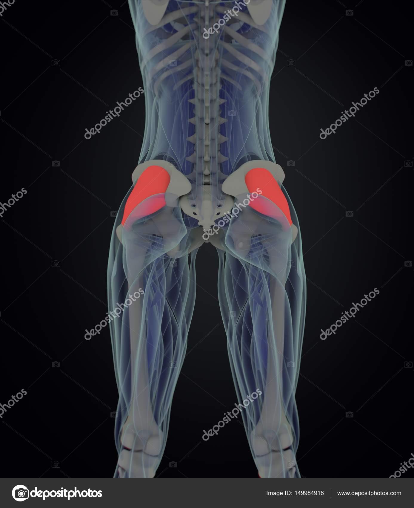female Fascia Lata anatomy model — Stock Photo © AnatomyInsider ...