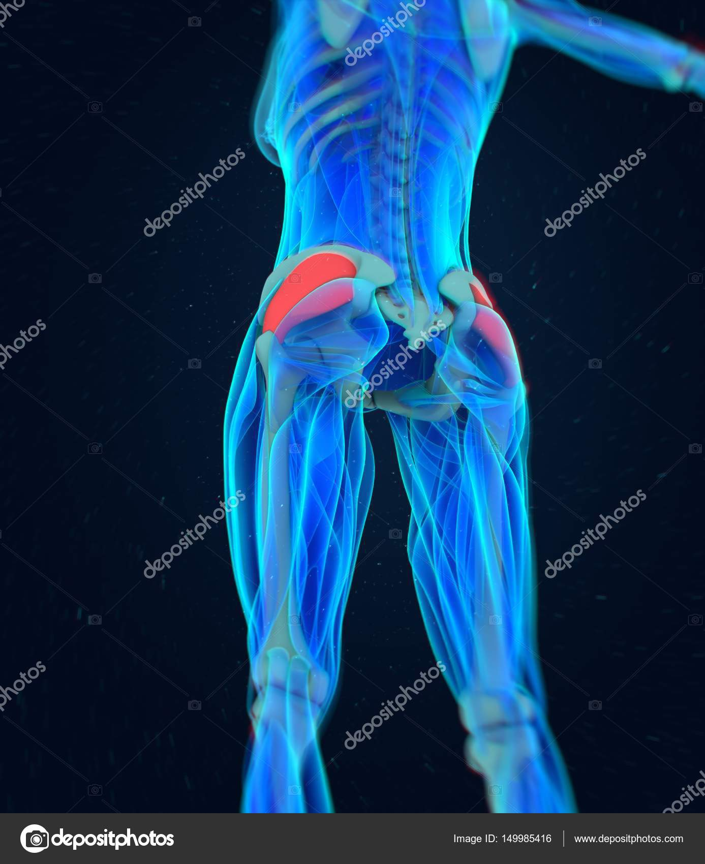 female Fascia Lata anatomy model — Stock Photo © AnatomyInsider ...