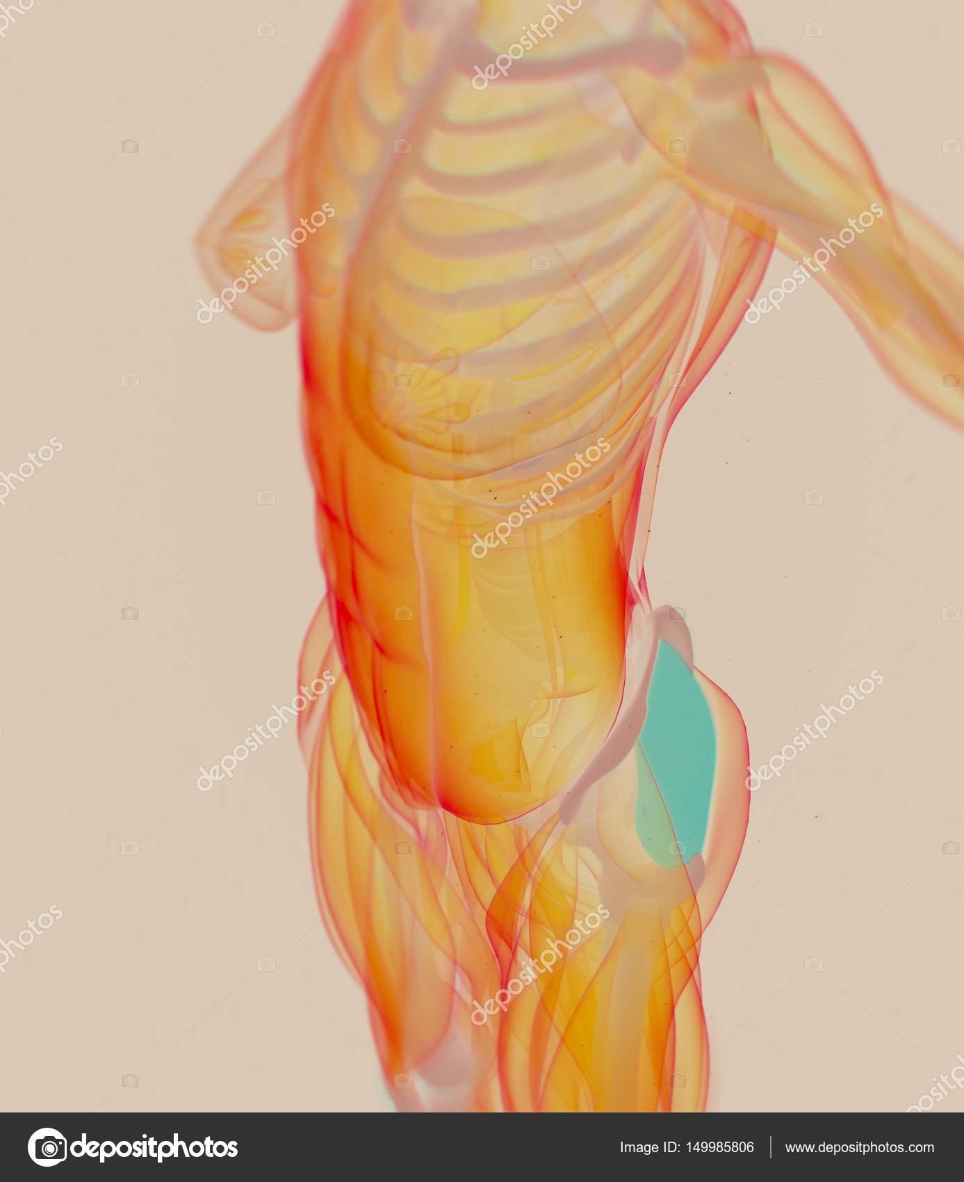 modelo femenino de anatomía de Fascia Lata — Fotos de Stock ...