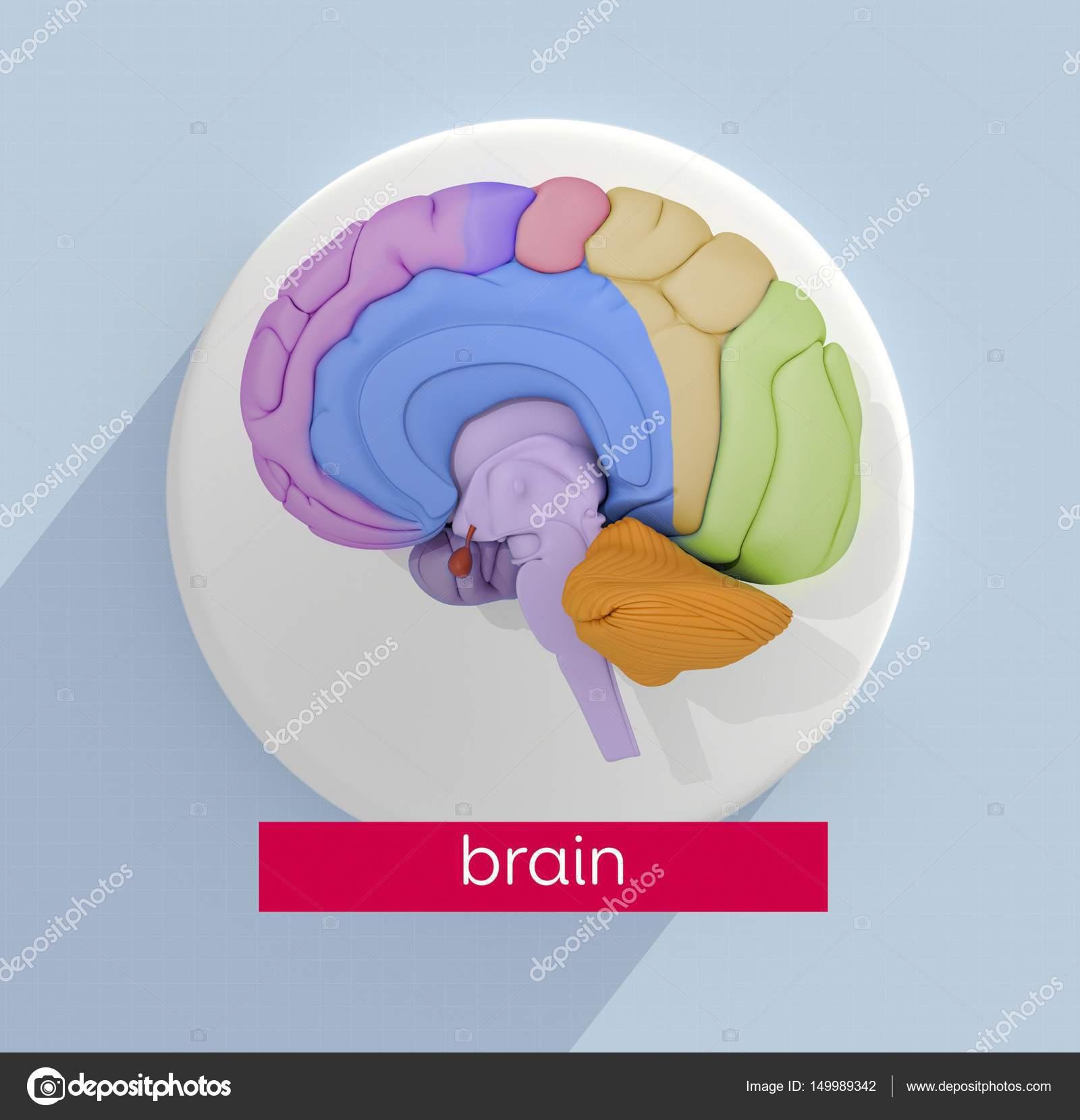 Human brain anatomy model icon — Stock Photo © AnatomyInsider #149989342