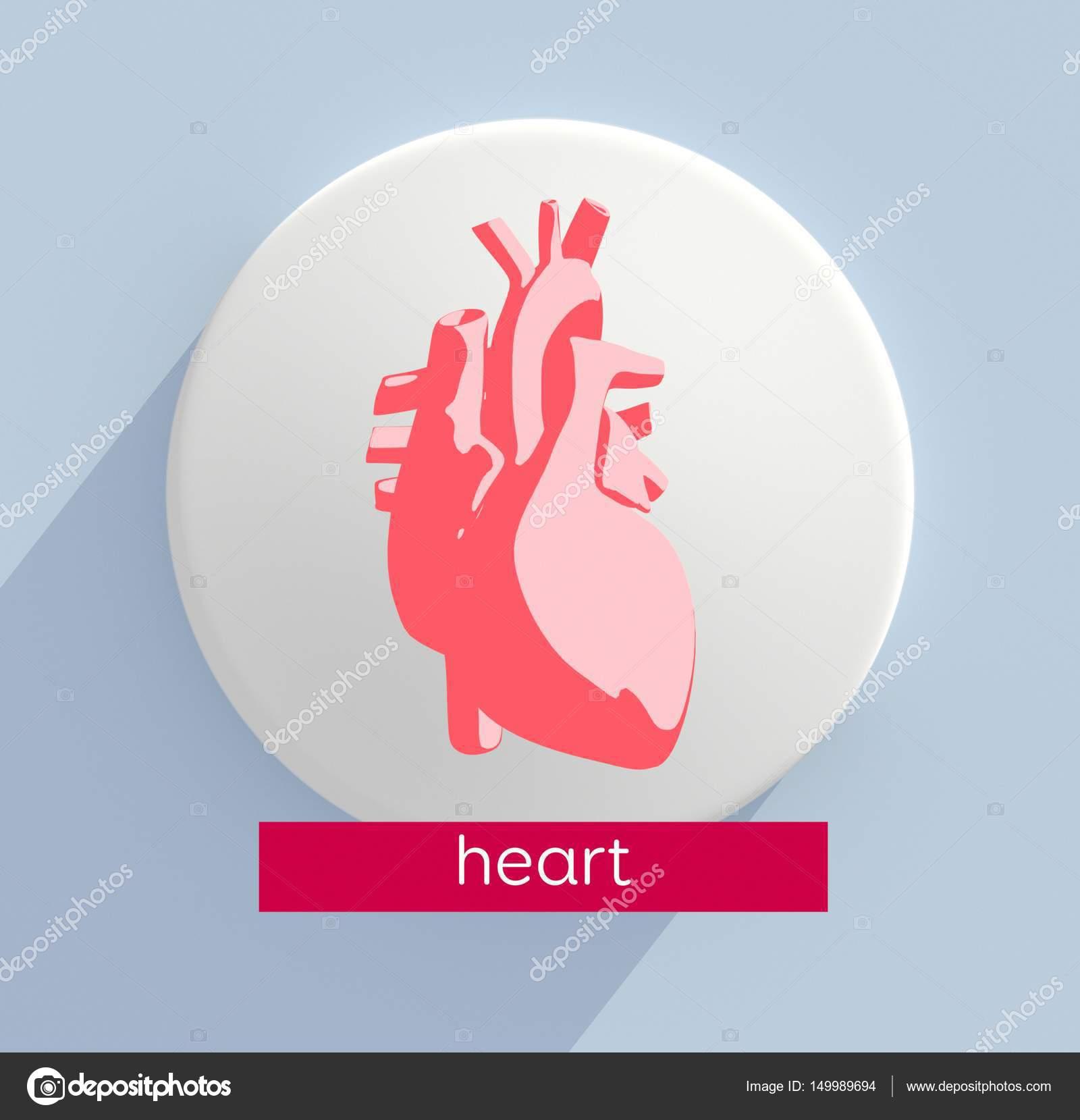 Human Heart Anatomy Model Icon Stock Photo Anatomyinsider 149989694