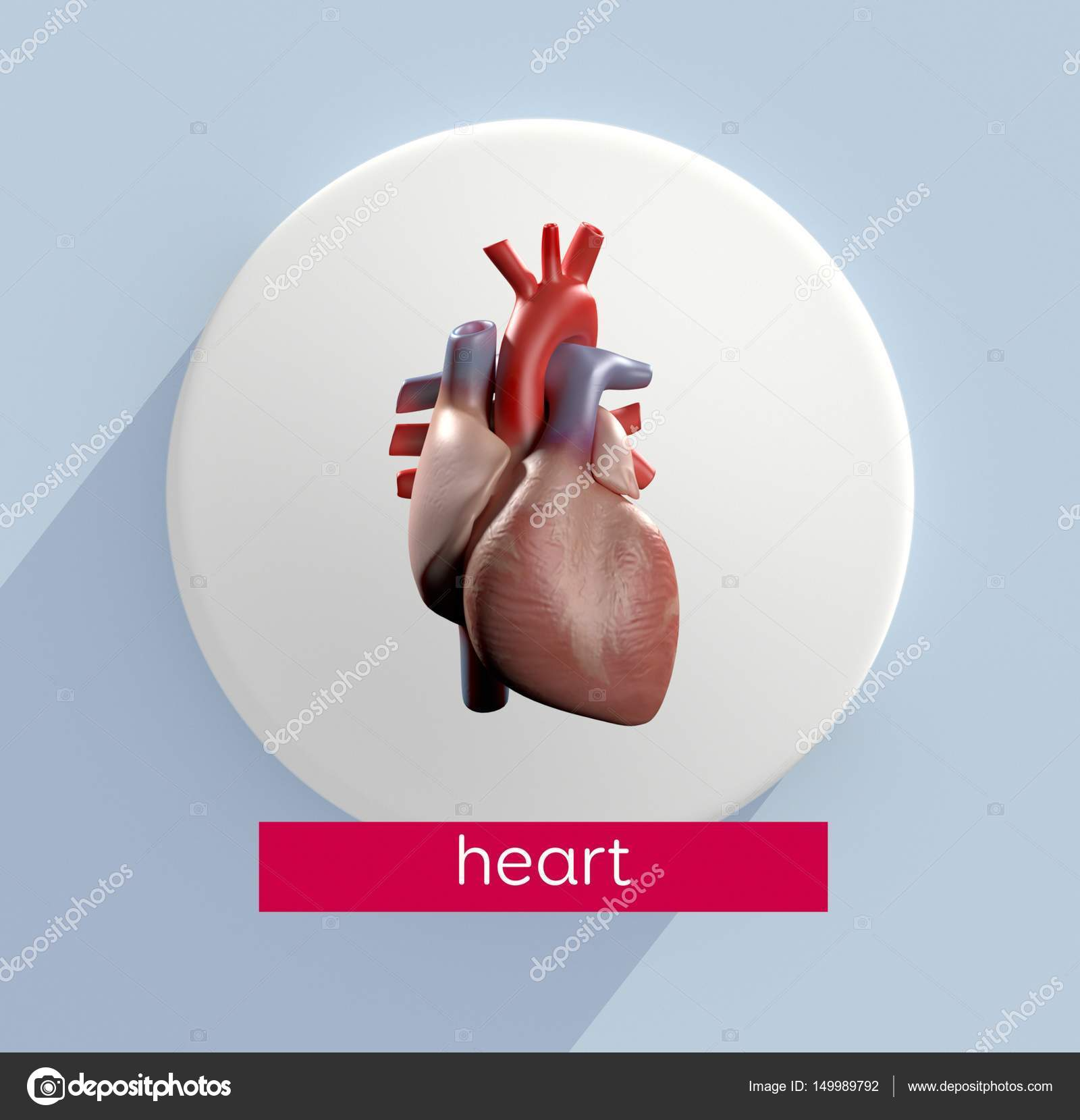 Human Heart Anatomy Model Icon Stock Photo Anatomyinsider 149989792