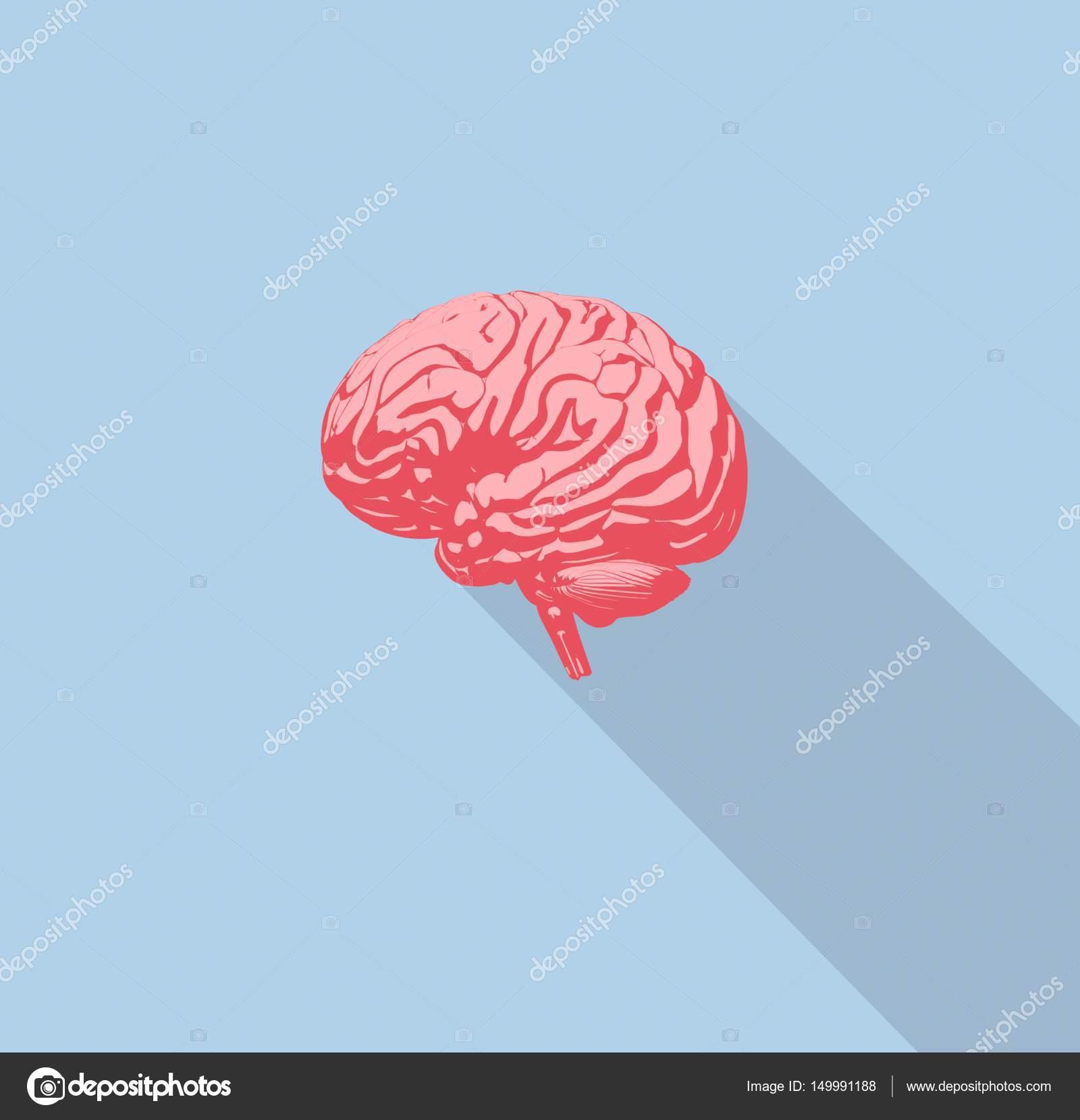 Human Brain Anatomy Model Icon Stock Photo Anatomyinsider 149991188